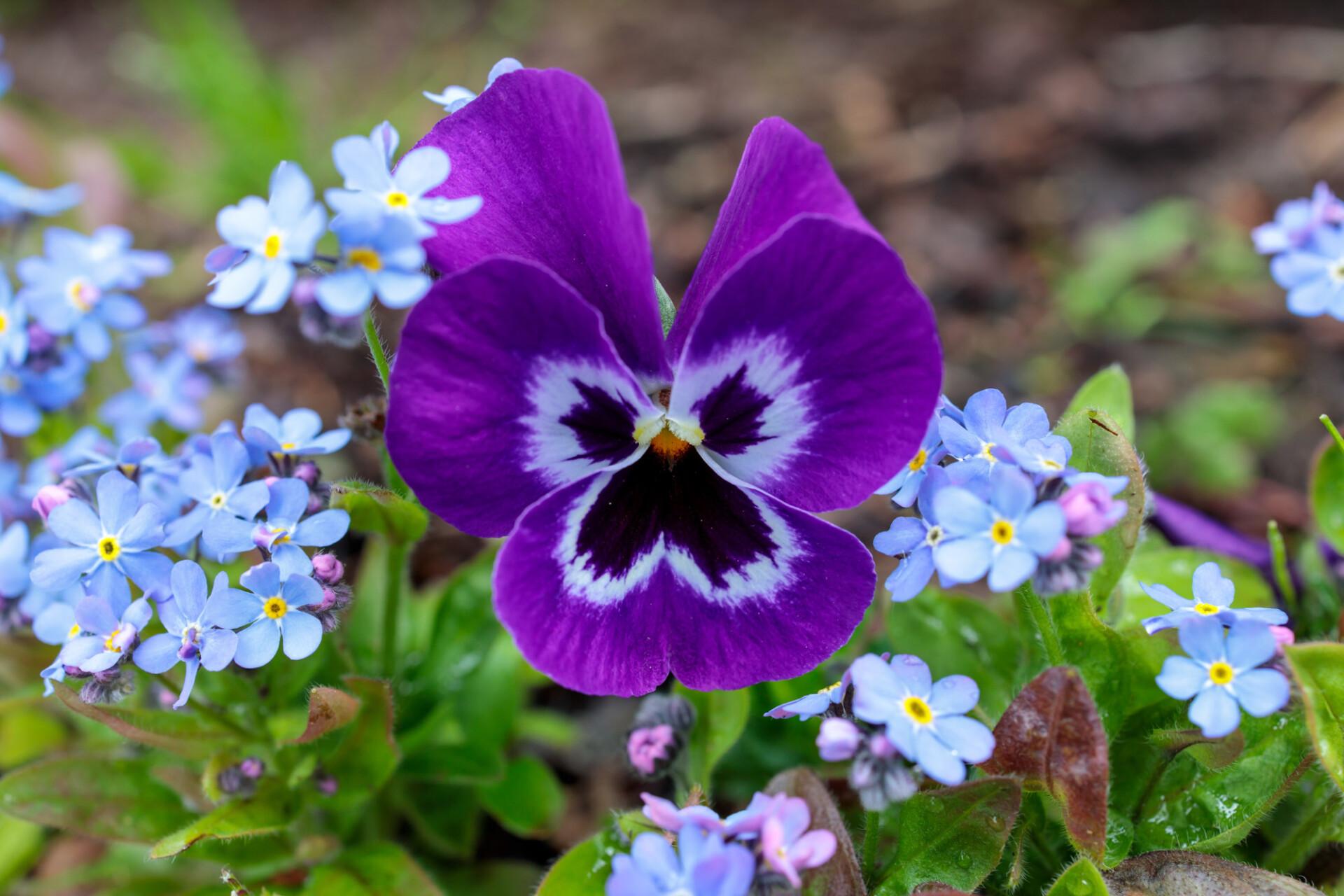 Purple pansies between forget-me-nots