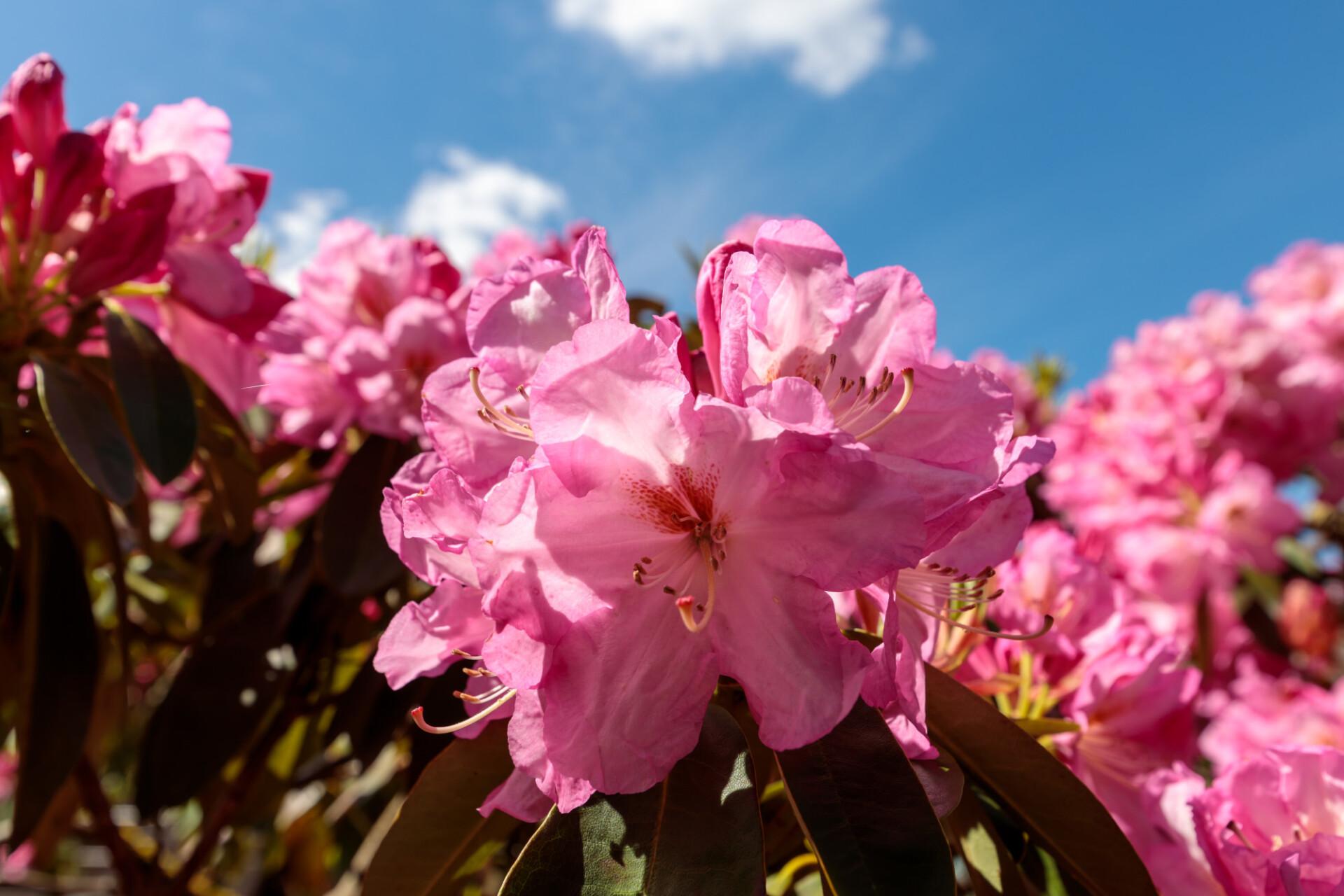 Pink rhododendron bush in the garden