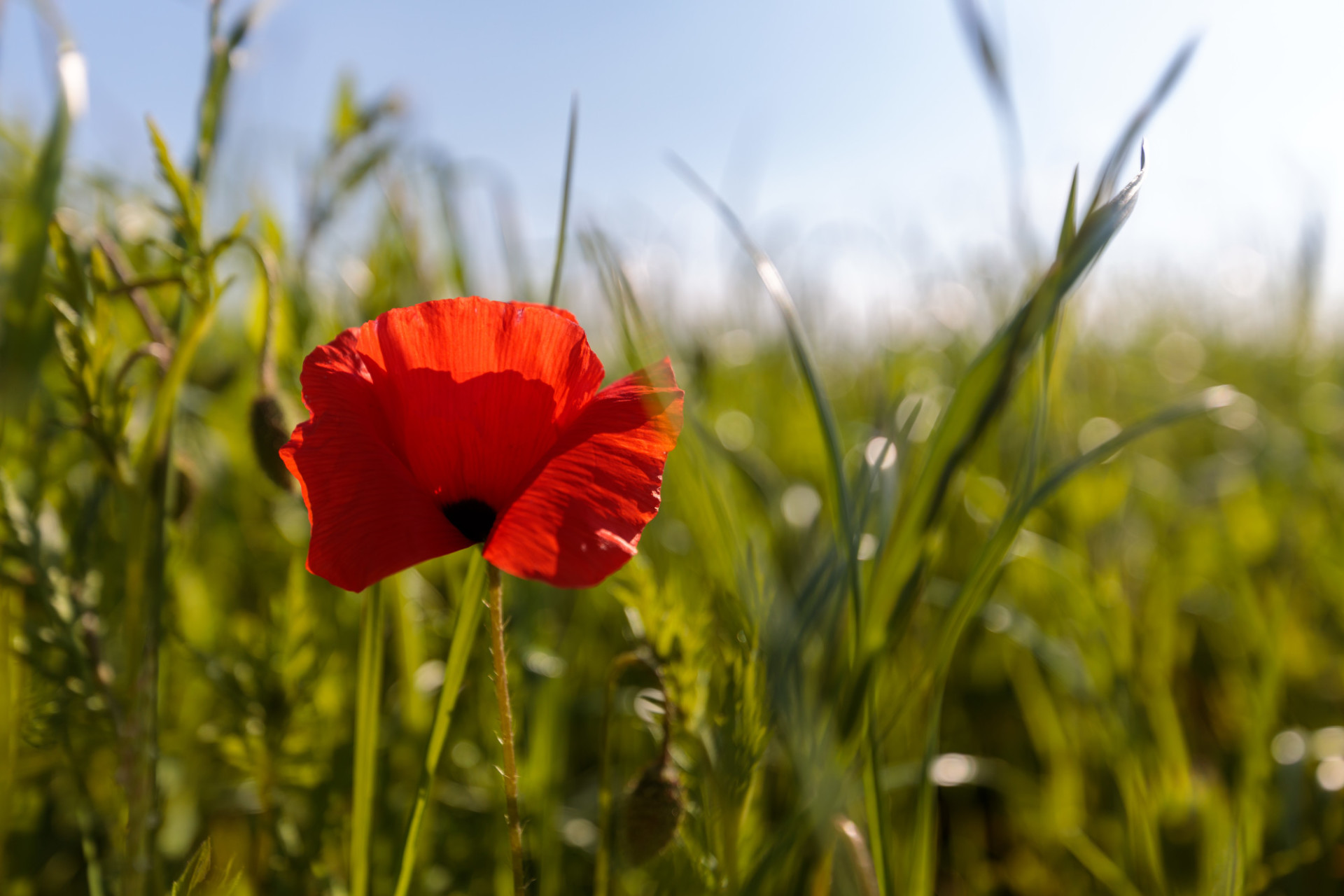 Red poppy in the field