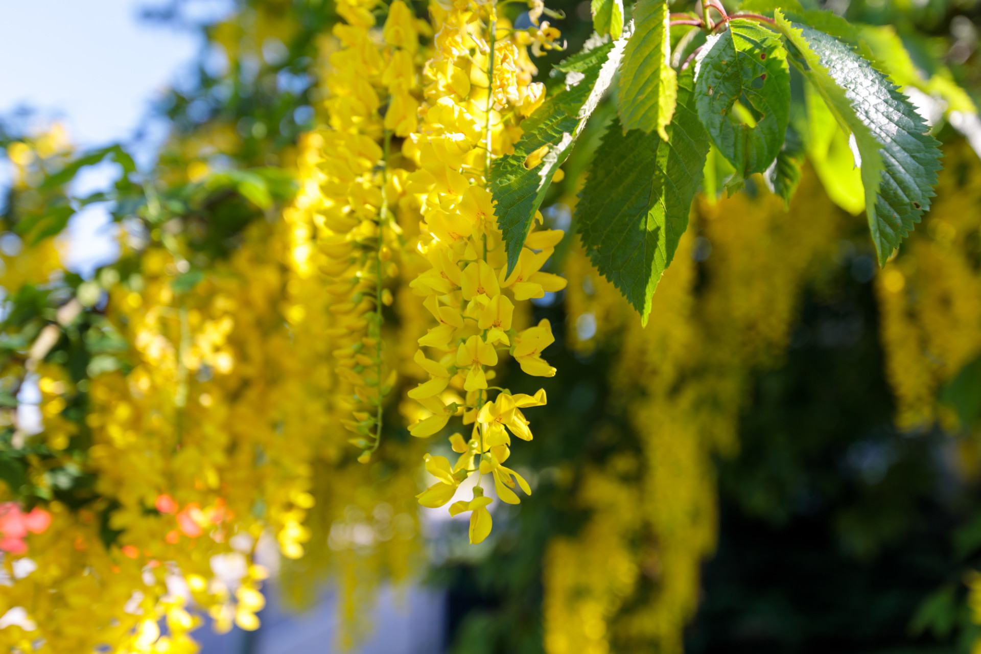 Blooming Laburnum anagyroides, also known as golden chain tree