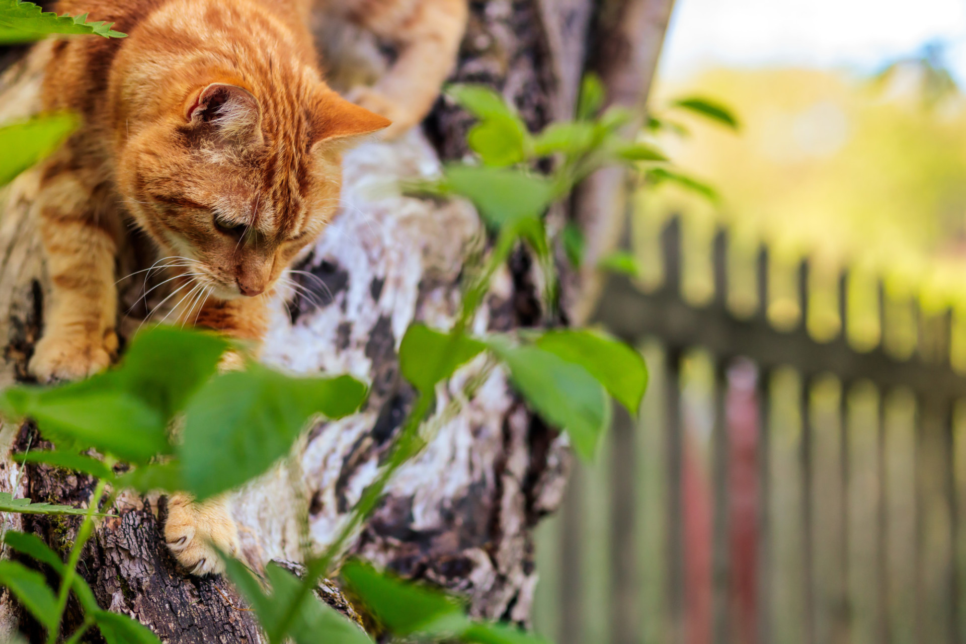 Red cat climbs down from tree