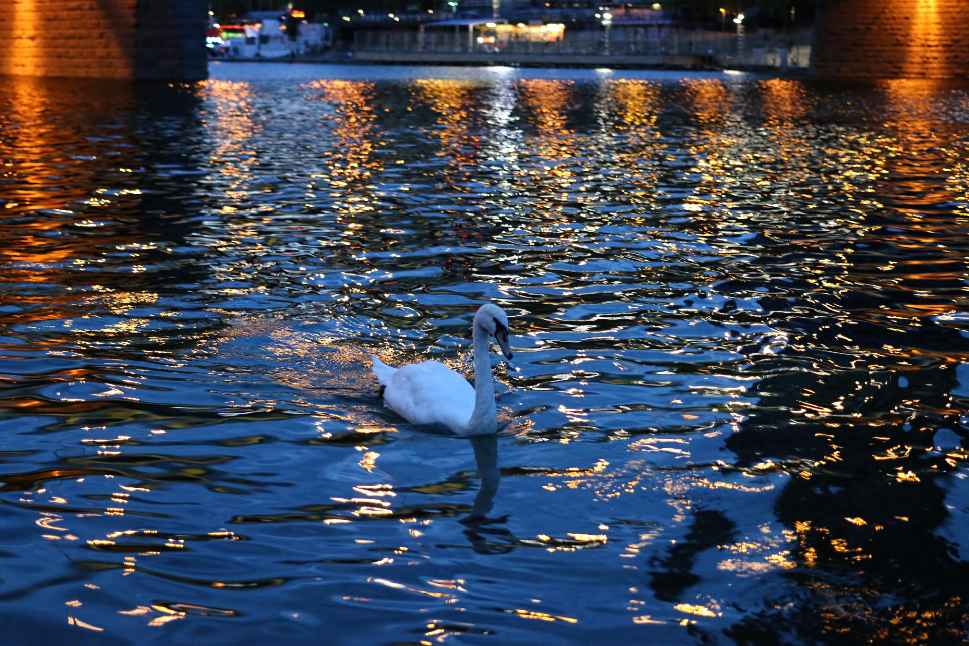 A swan on the Danube in Vienna