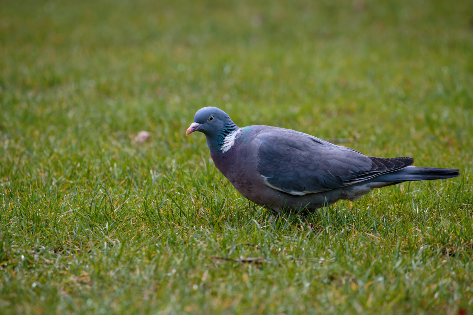 Woodpigeon in a meadow