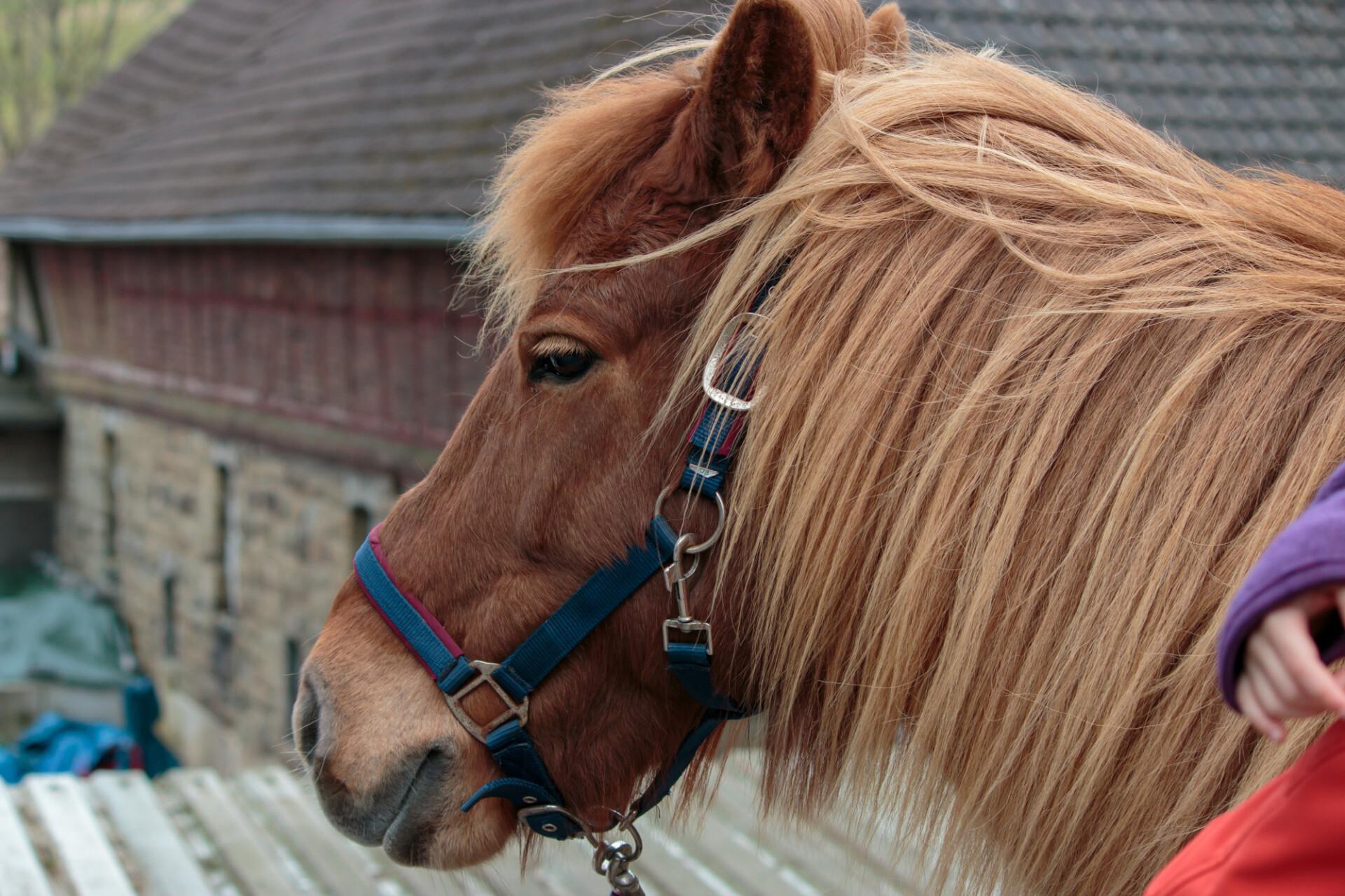 Cute brown pony portrait