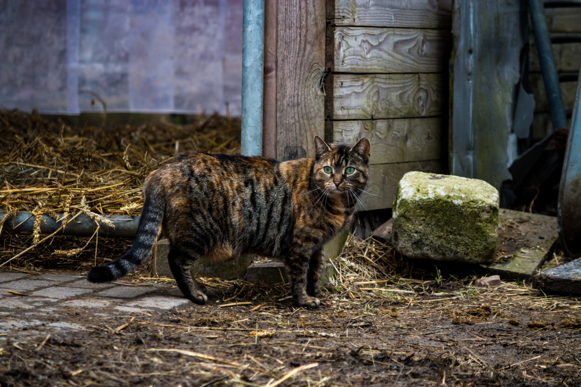 Cat standing on a farm