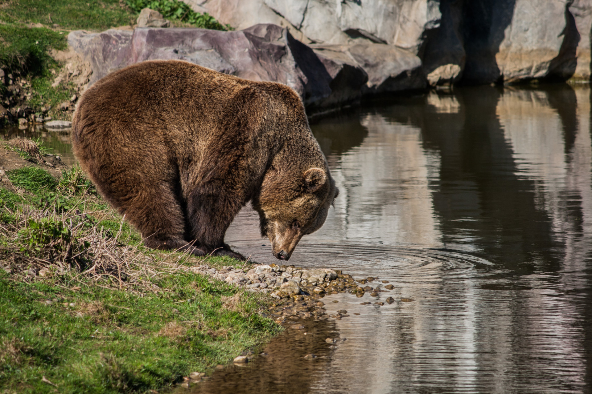 grizzly bear on the riverbank