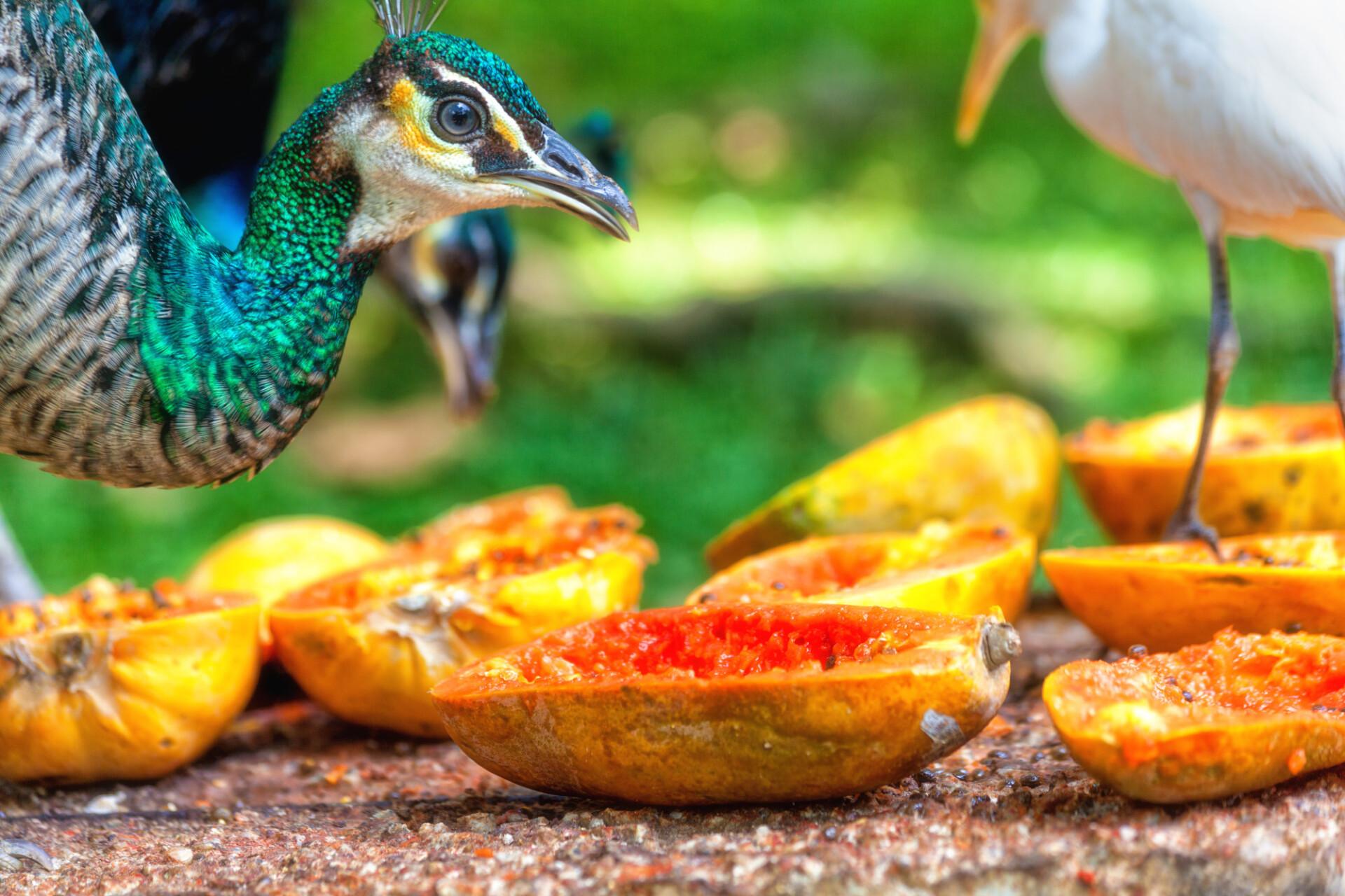 peacock eating fruits