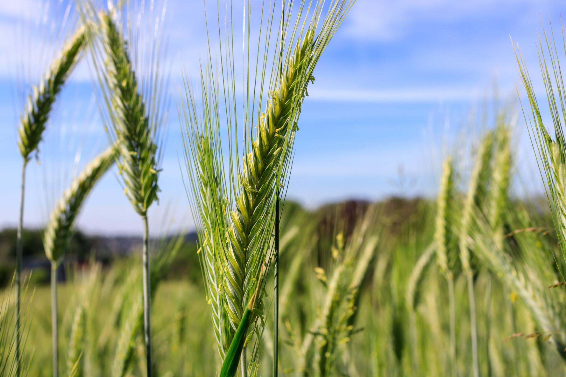 Green rye field in early summer