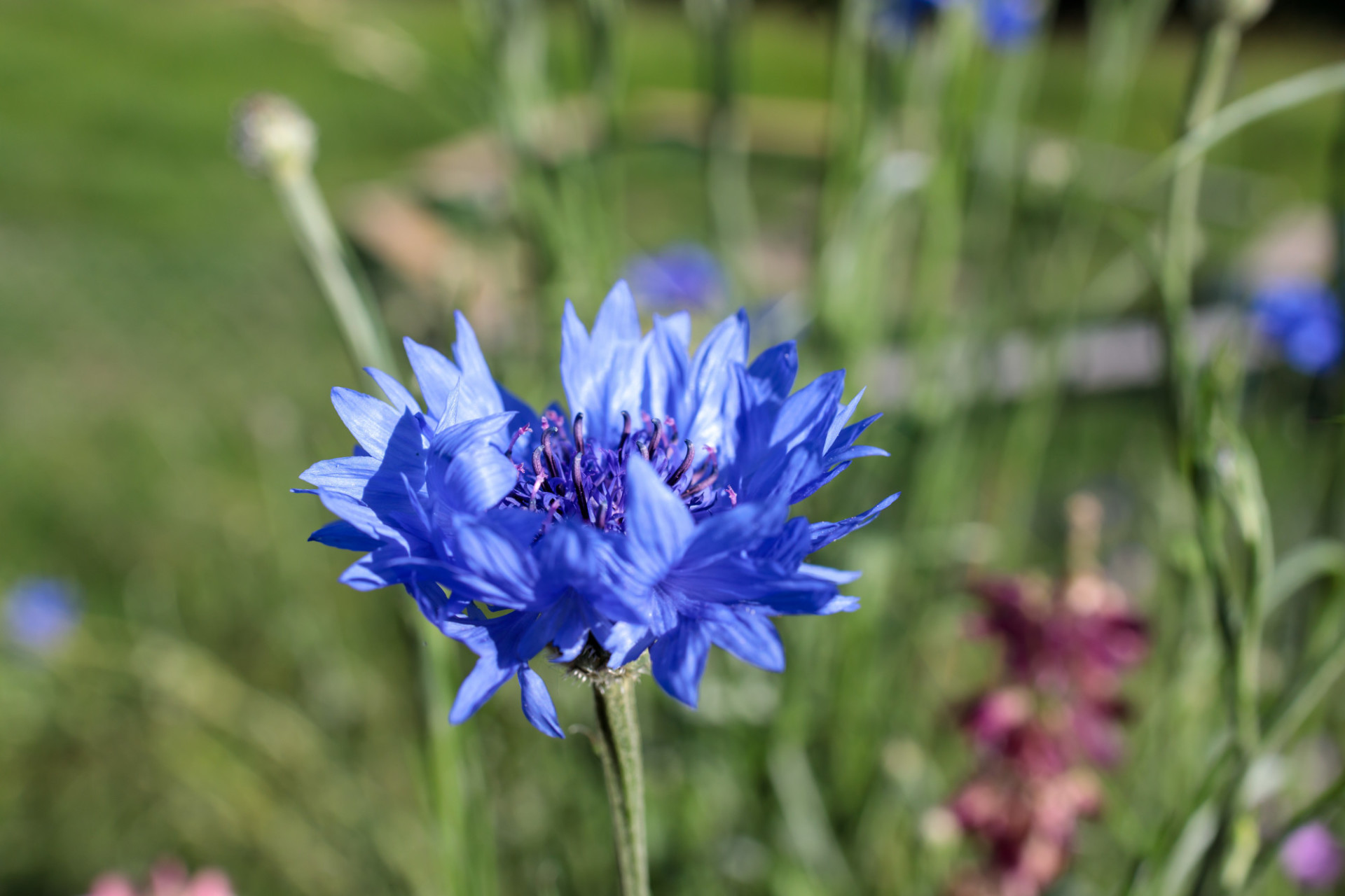 Centaurea montana, the perennial cornflower