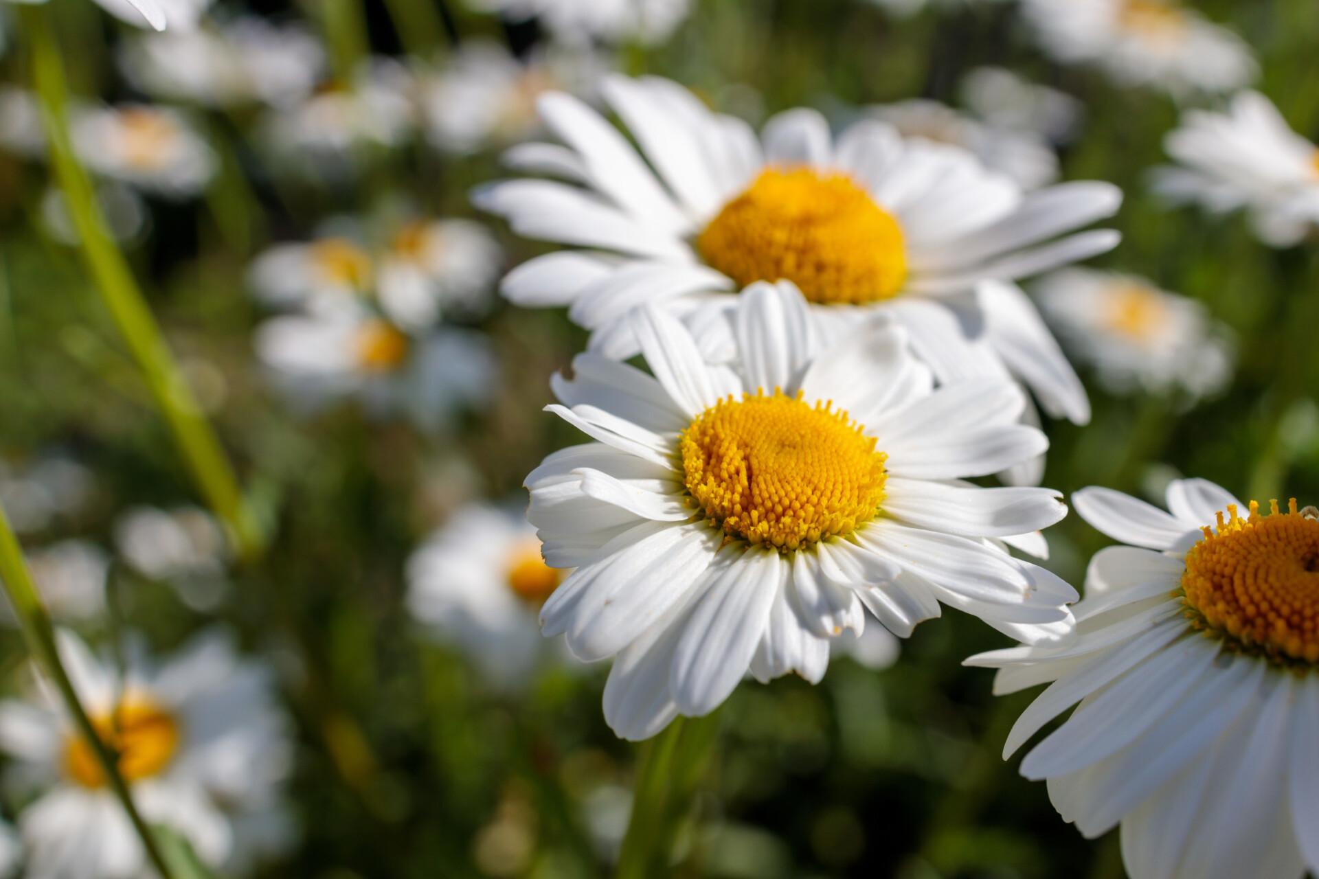 Leucanthemum - Marguerite flower