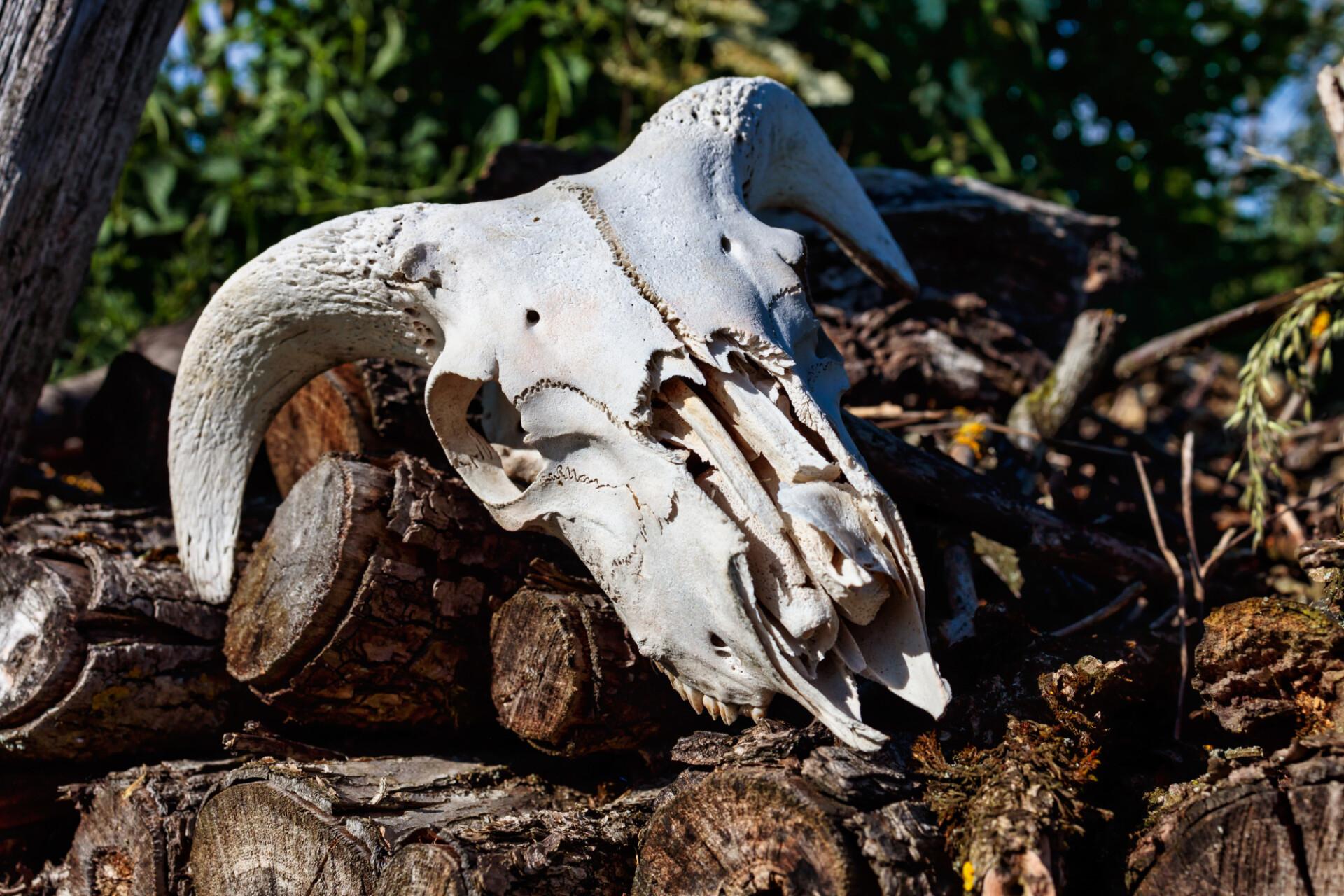 Skull bone of a sheep