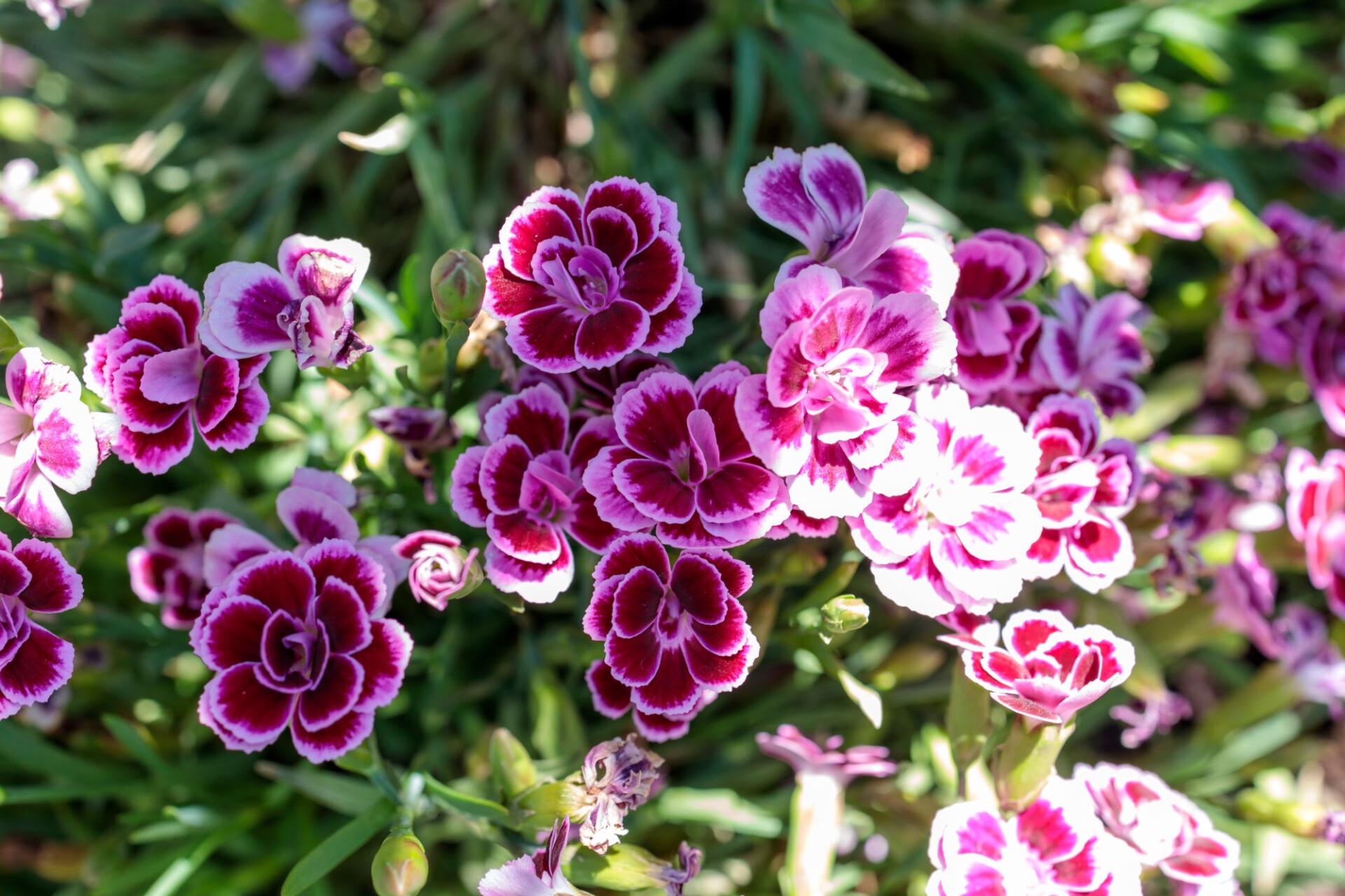 Pelargonium grandiflorum pink flower