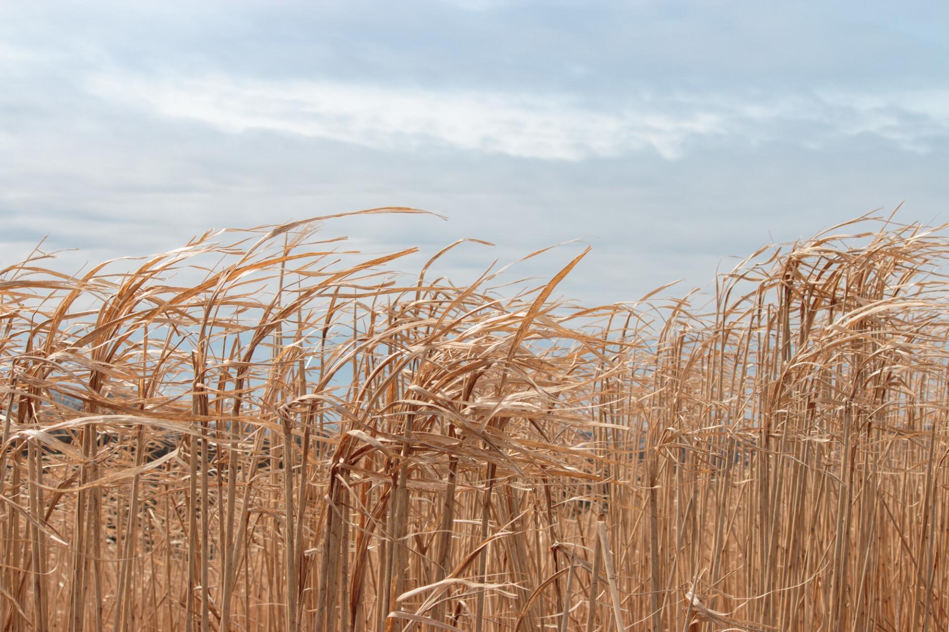 Dry straw grass