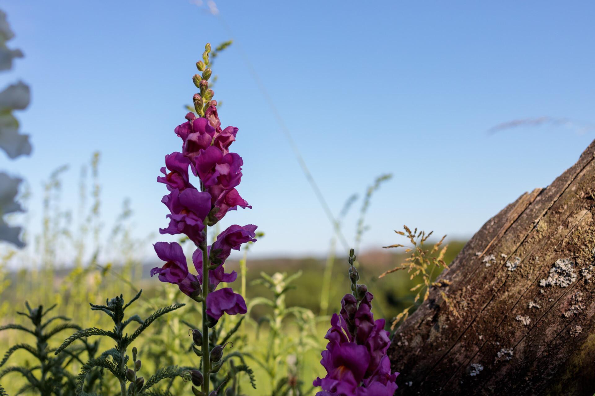 Purple Lupinus