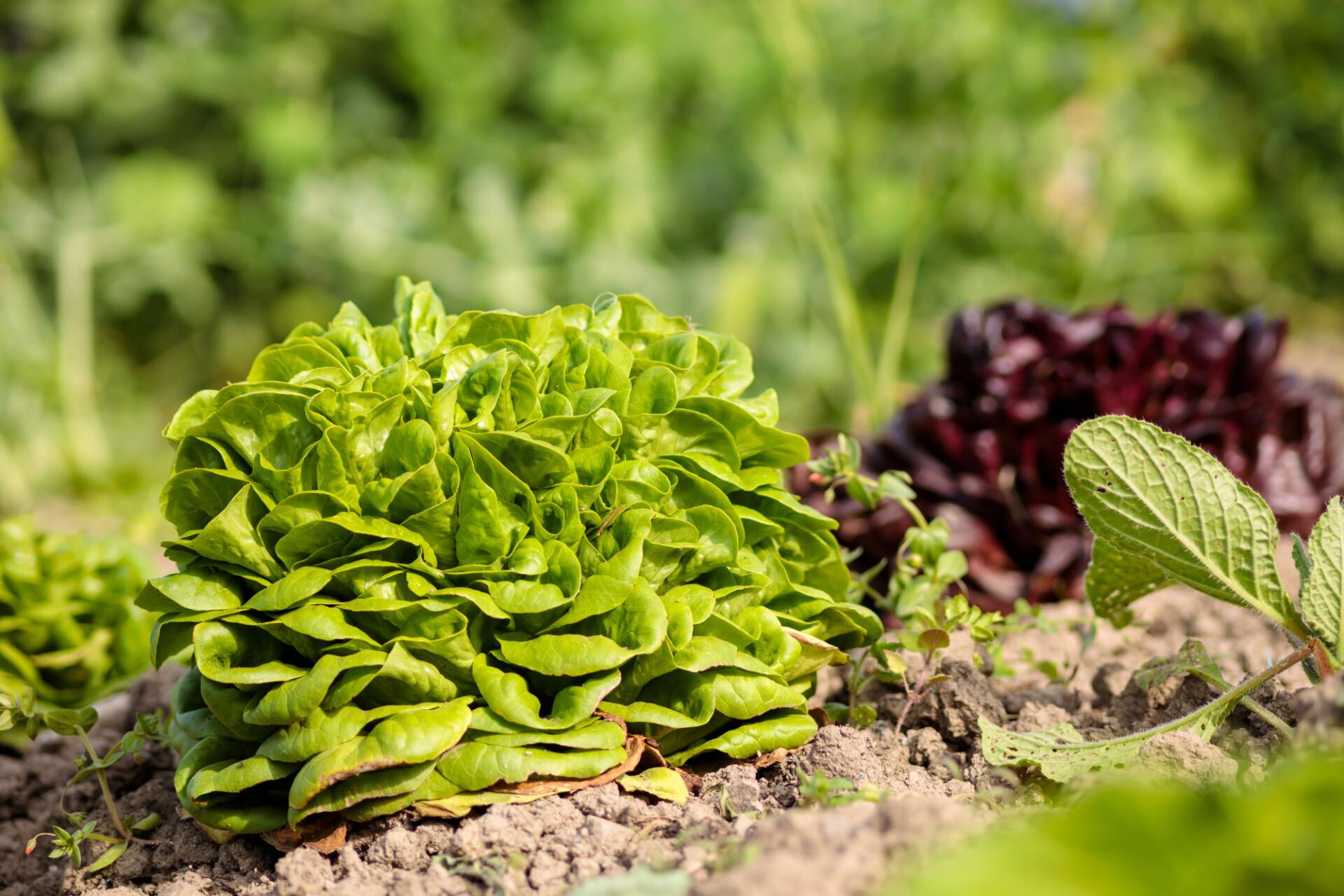 Lush Green Plot Vegetable