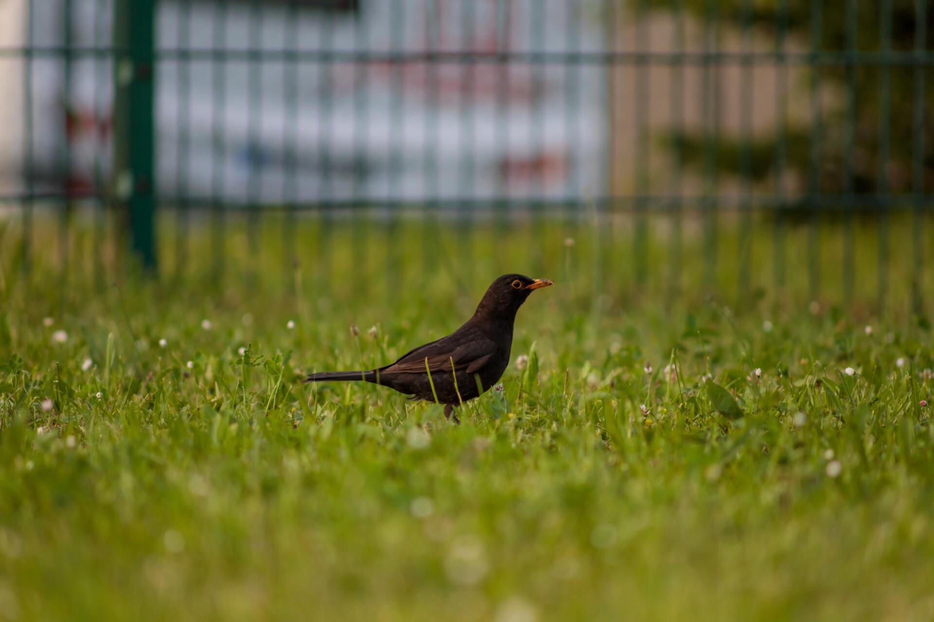 Blackbird in a meadow