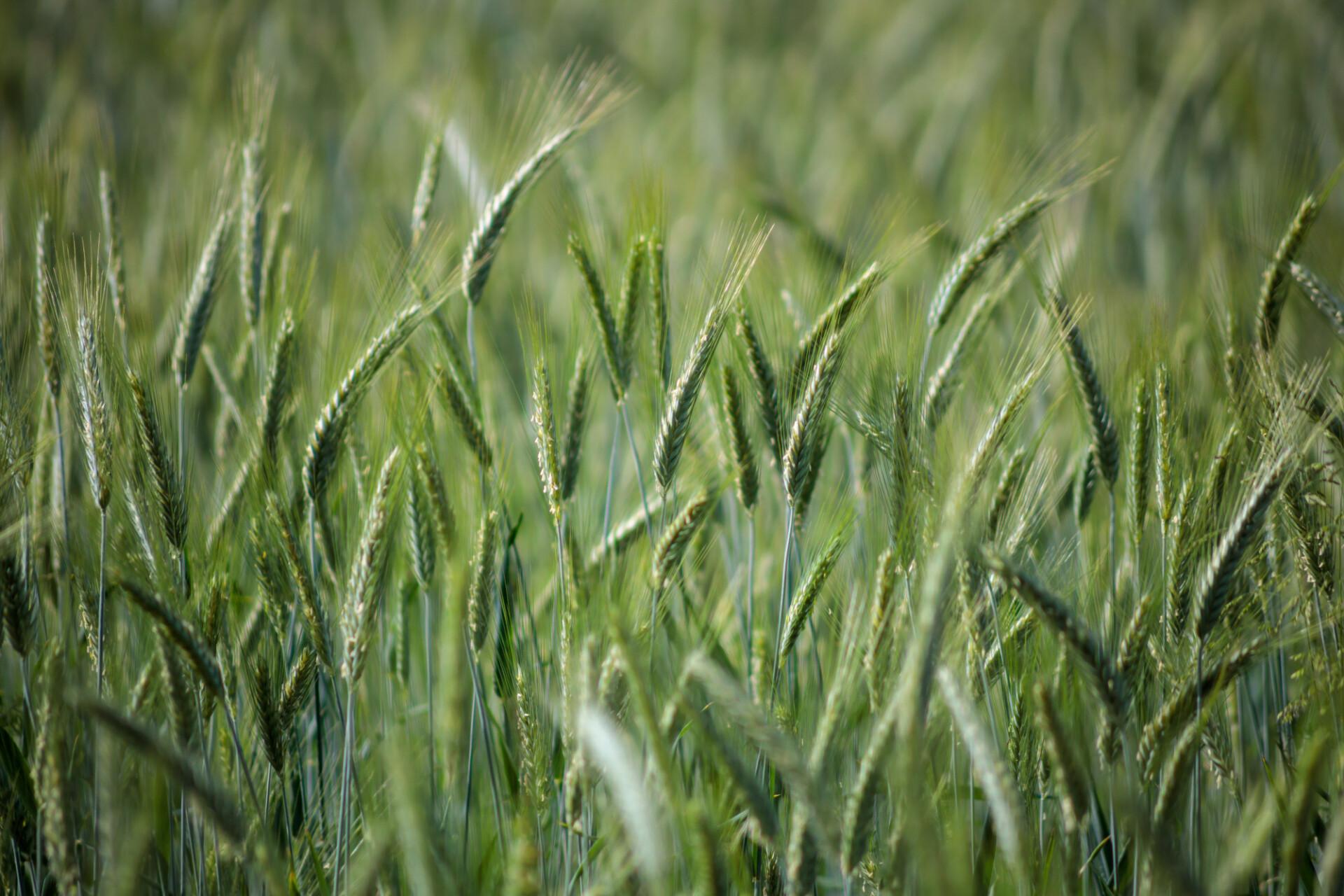 Rye field in summer