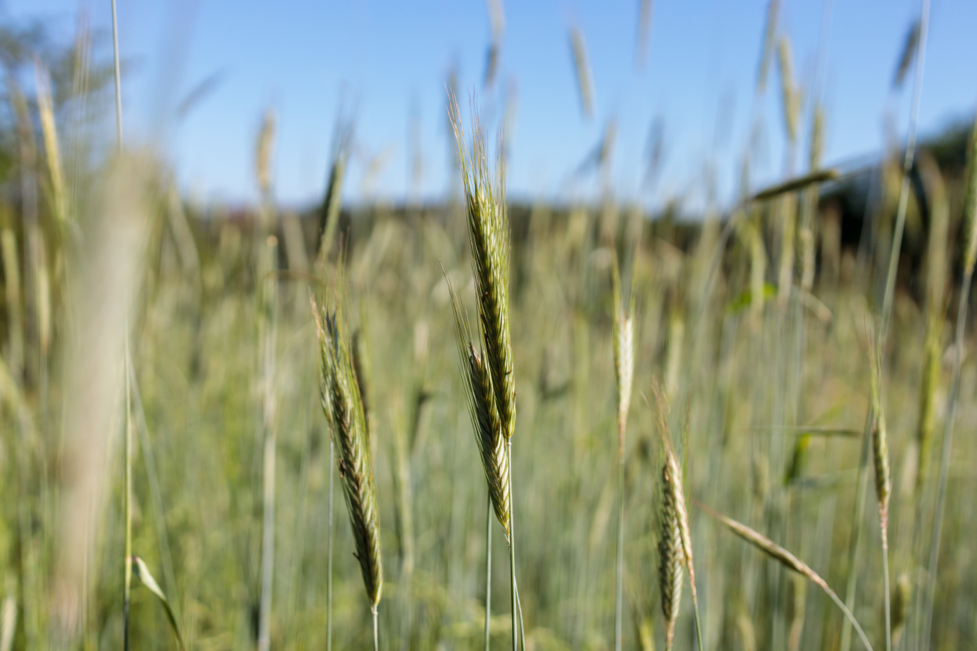 Rye field thrives in early summer