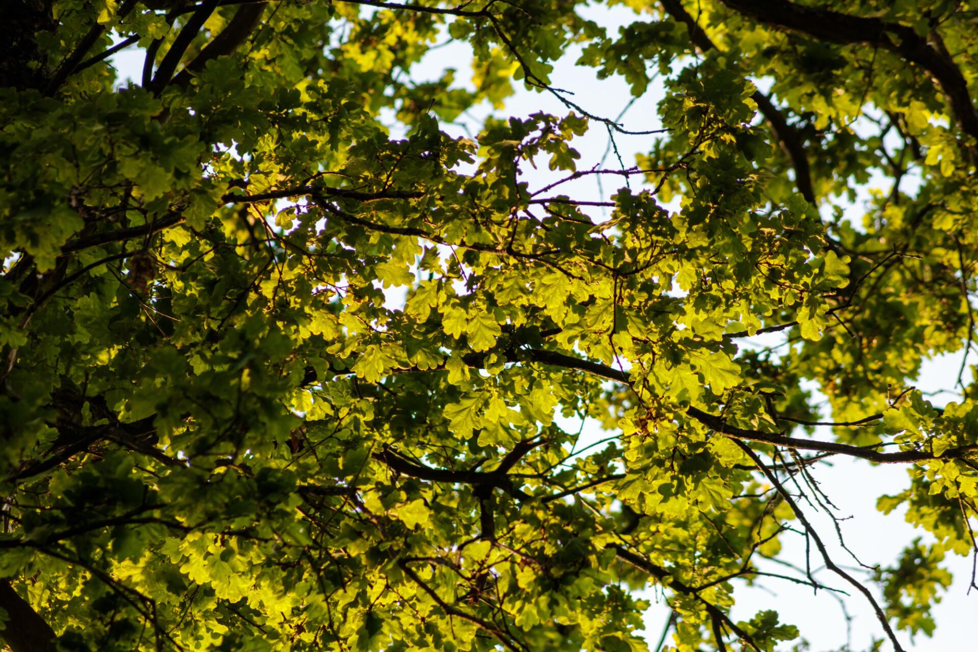 Tree crown of an oak