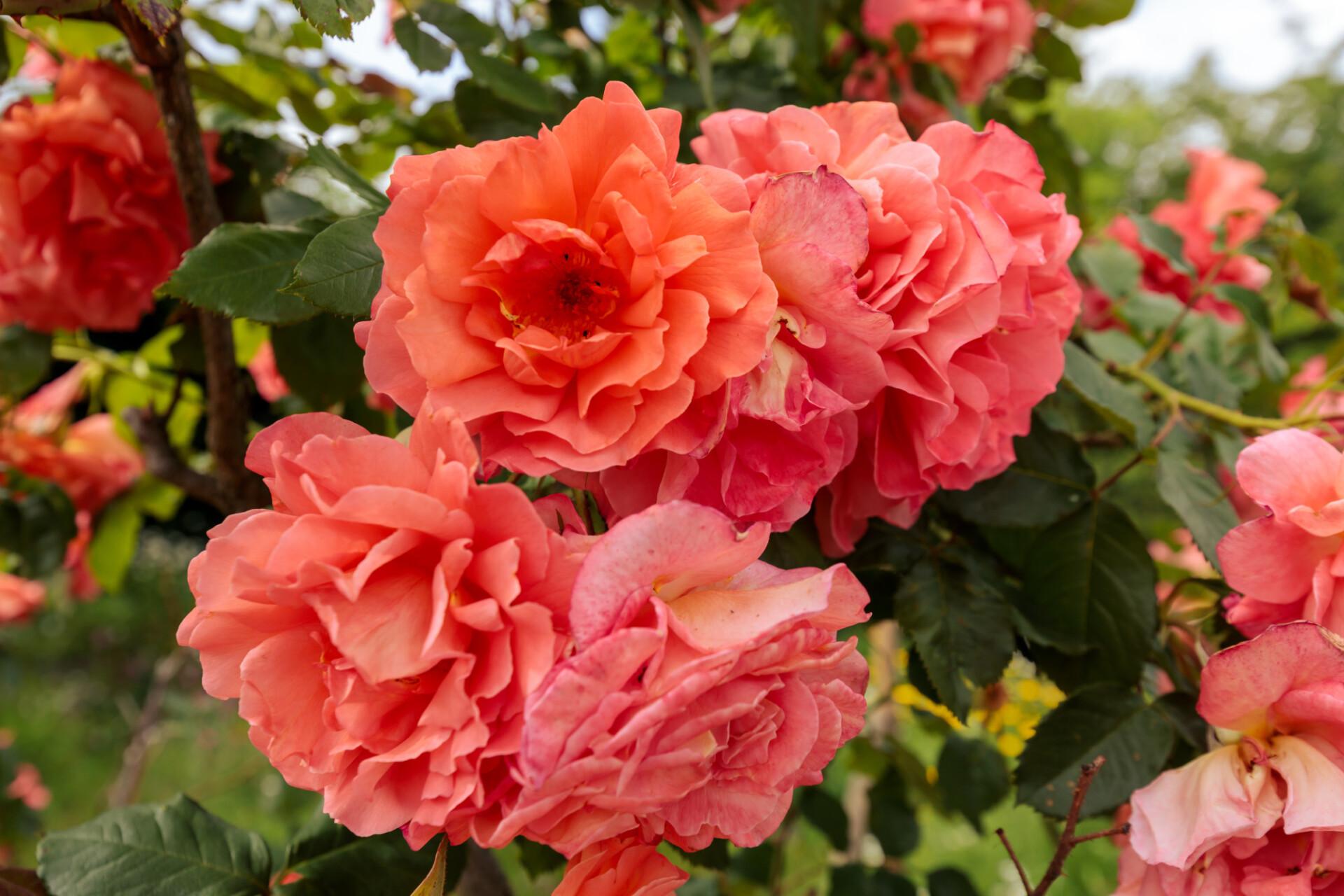 Pink Reddish Roses