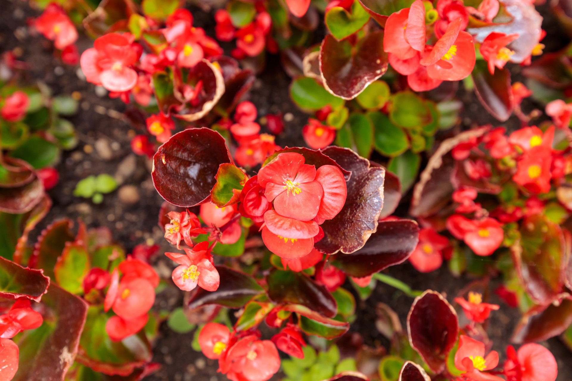 Red Wax Begonia