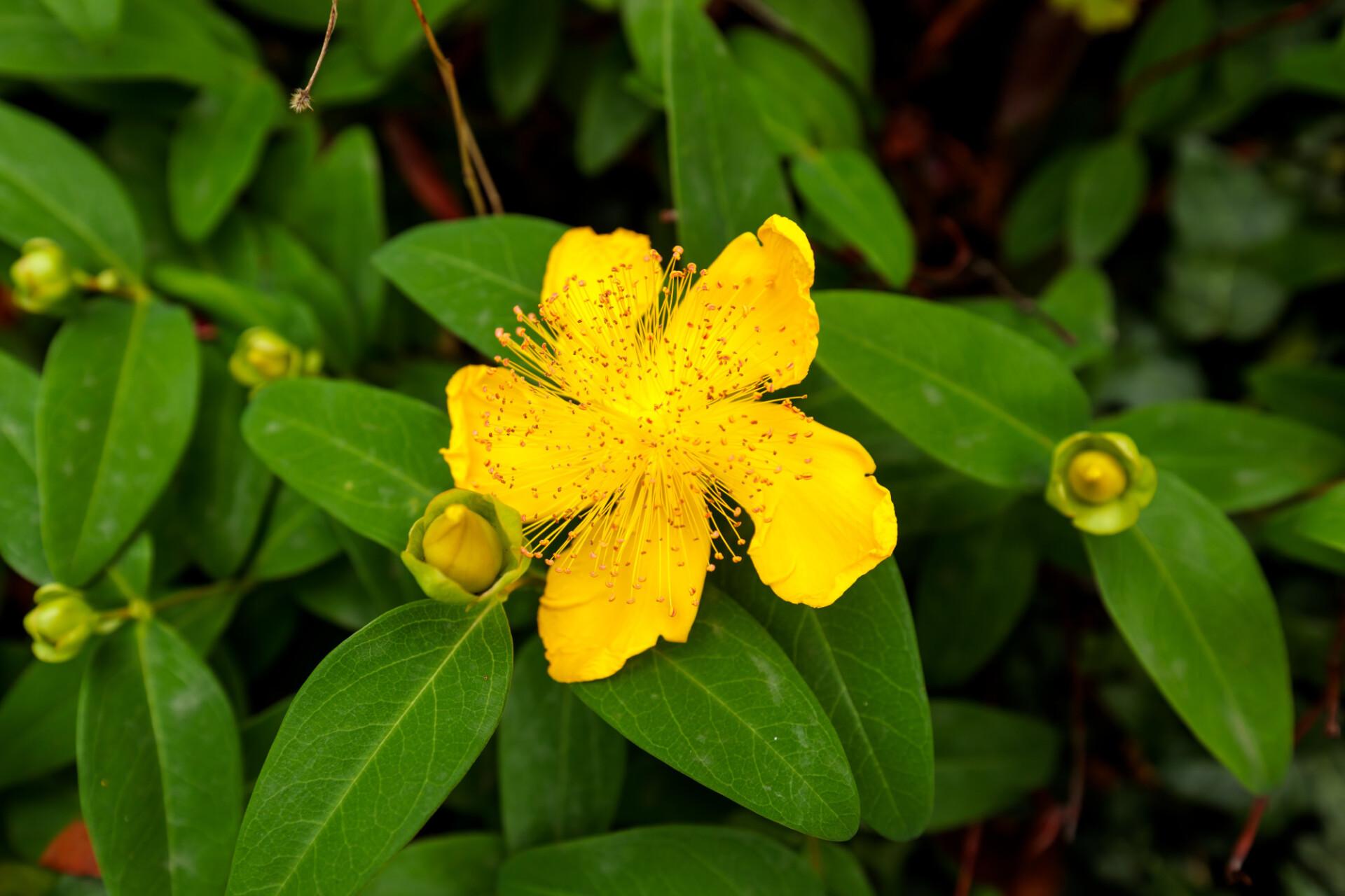 St John's-wort yellow blooming flower