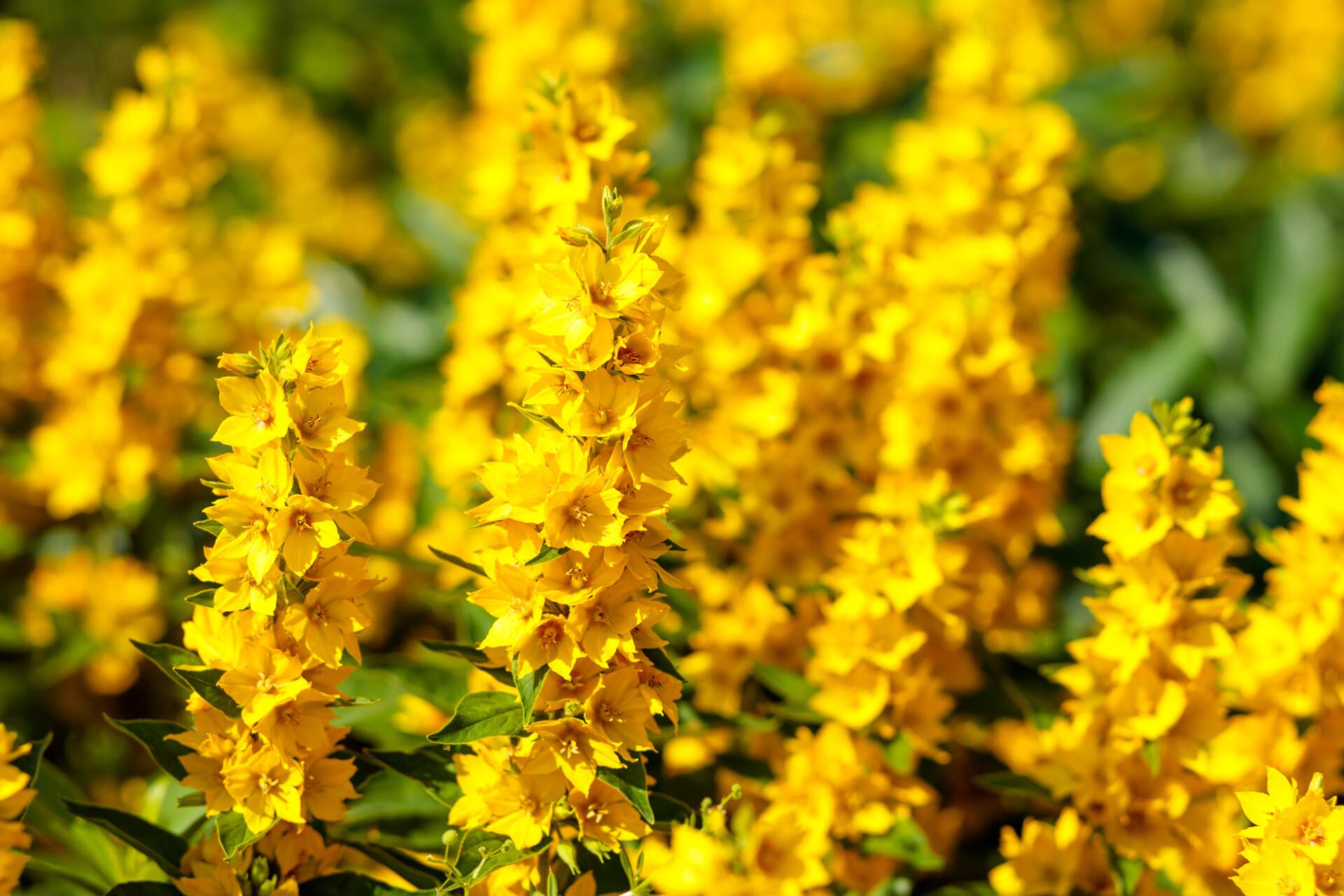 Yellow bush lupine, Lupinus arboreus