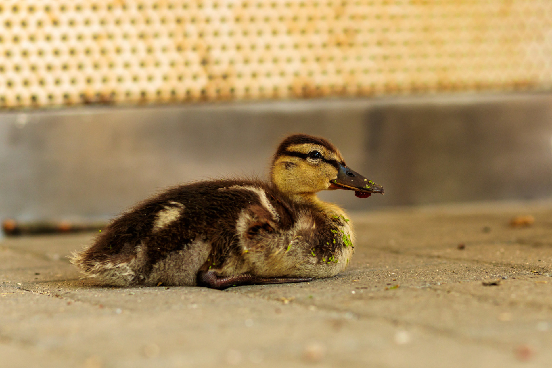 Duckling sitting in the street