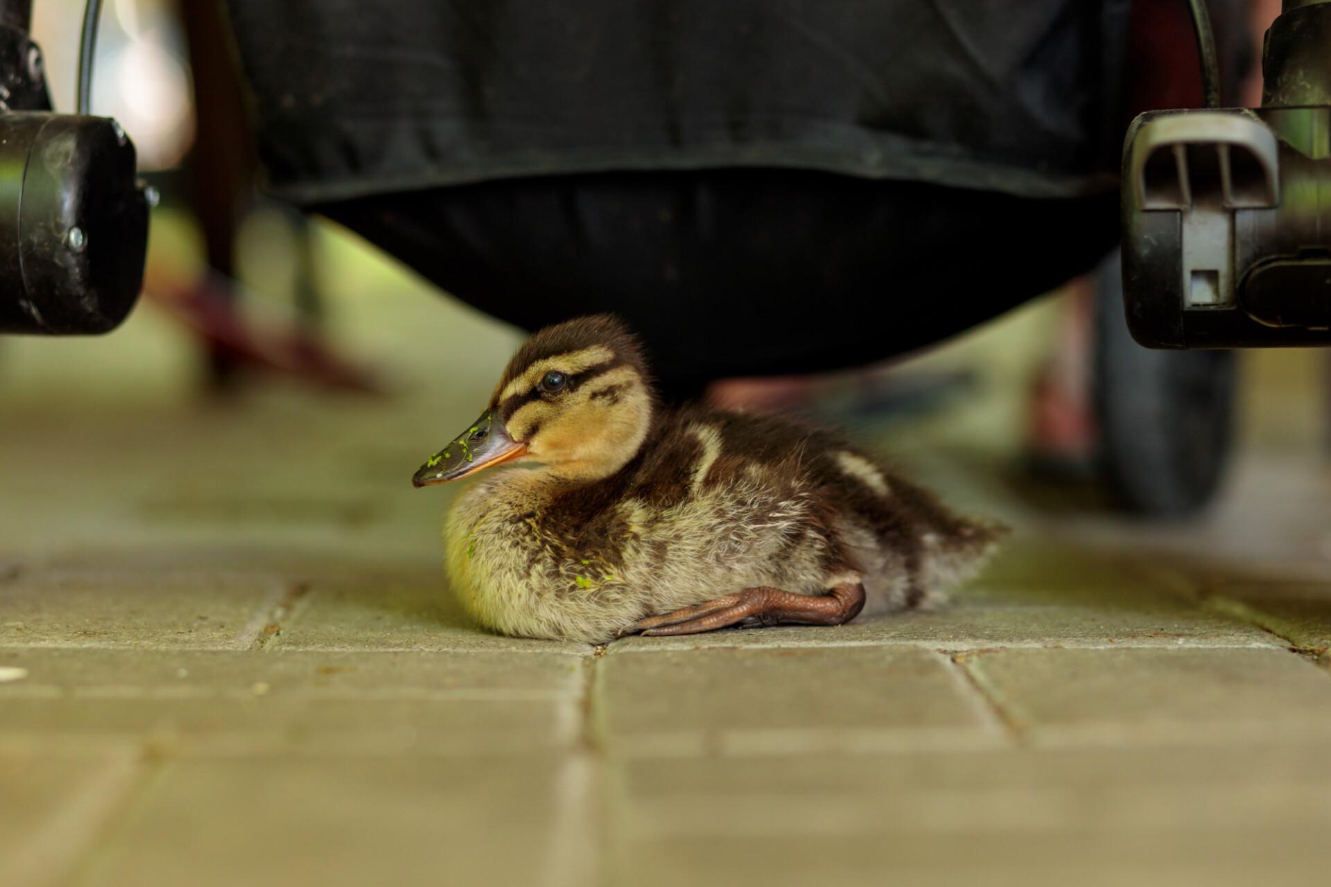 Cute little duckling sitting under a pram