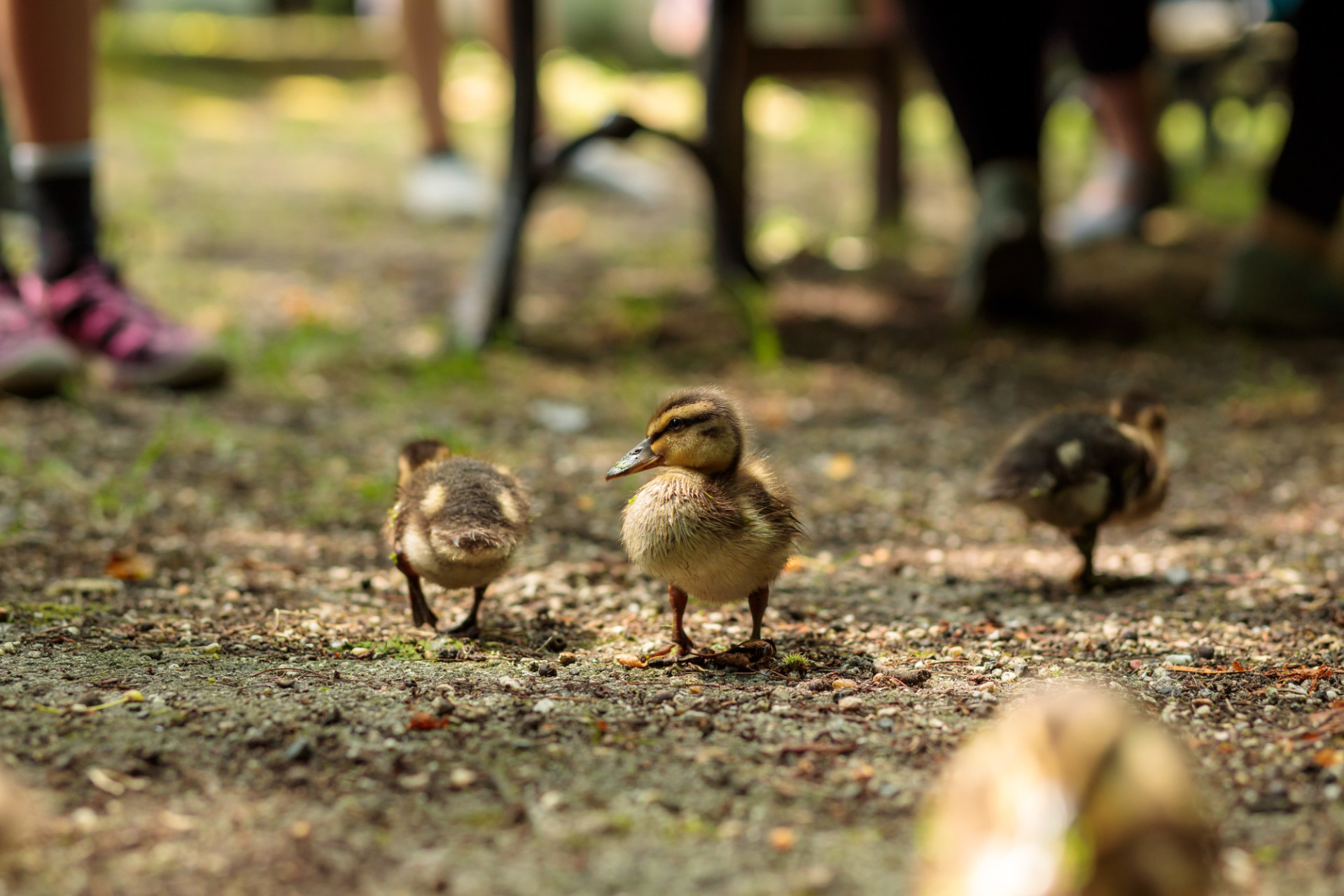 Curious little ducklings playing with children