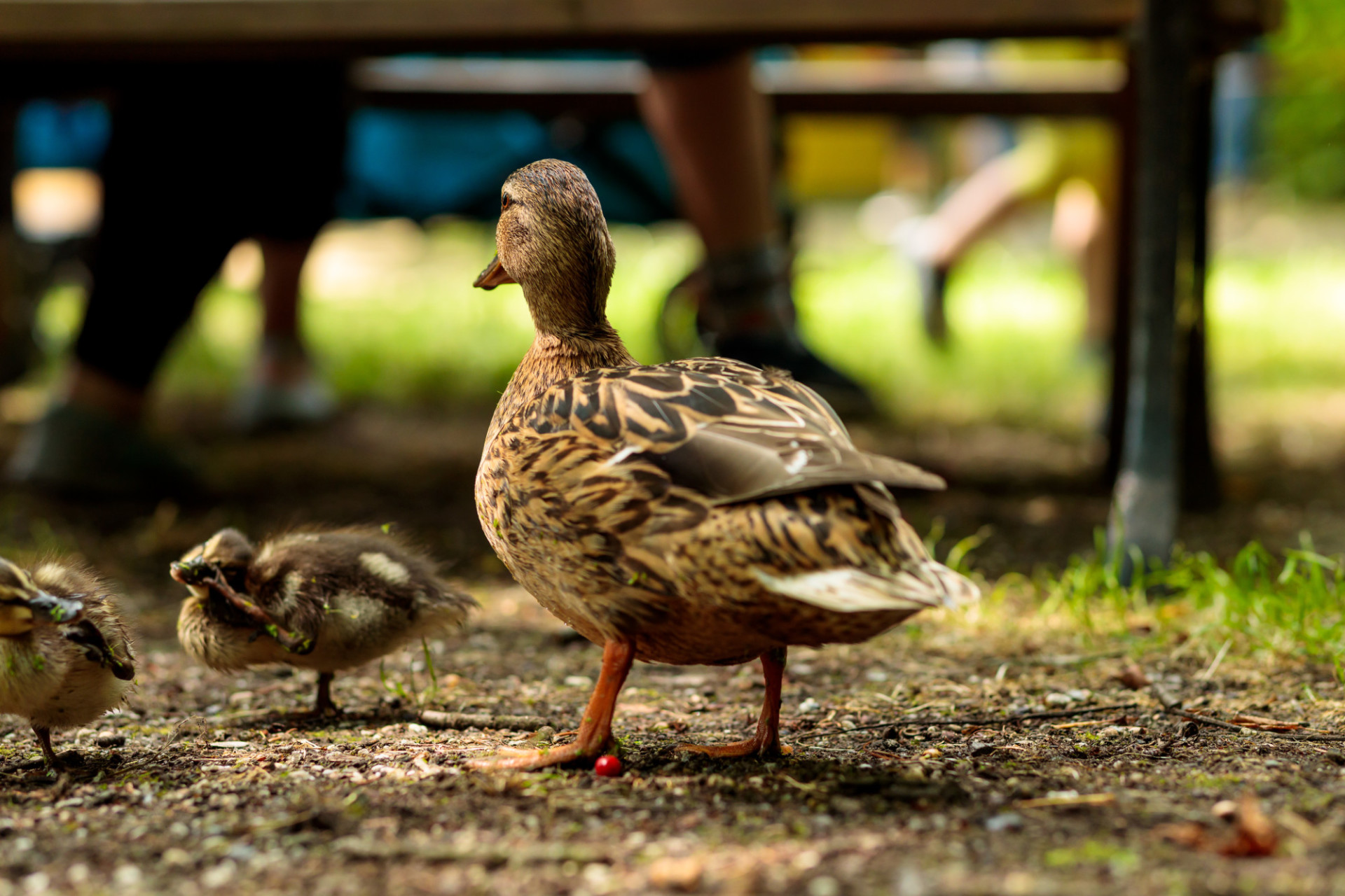 Mother duck guards her chicks