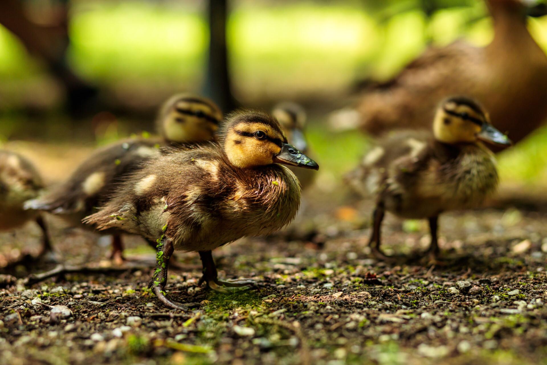 Beautiful cute little duckling