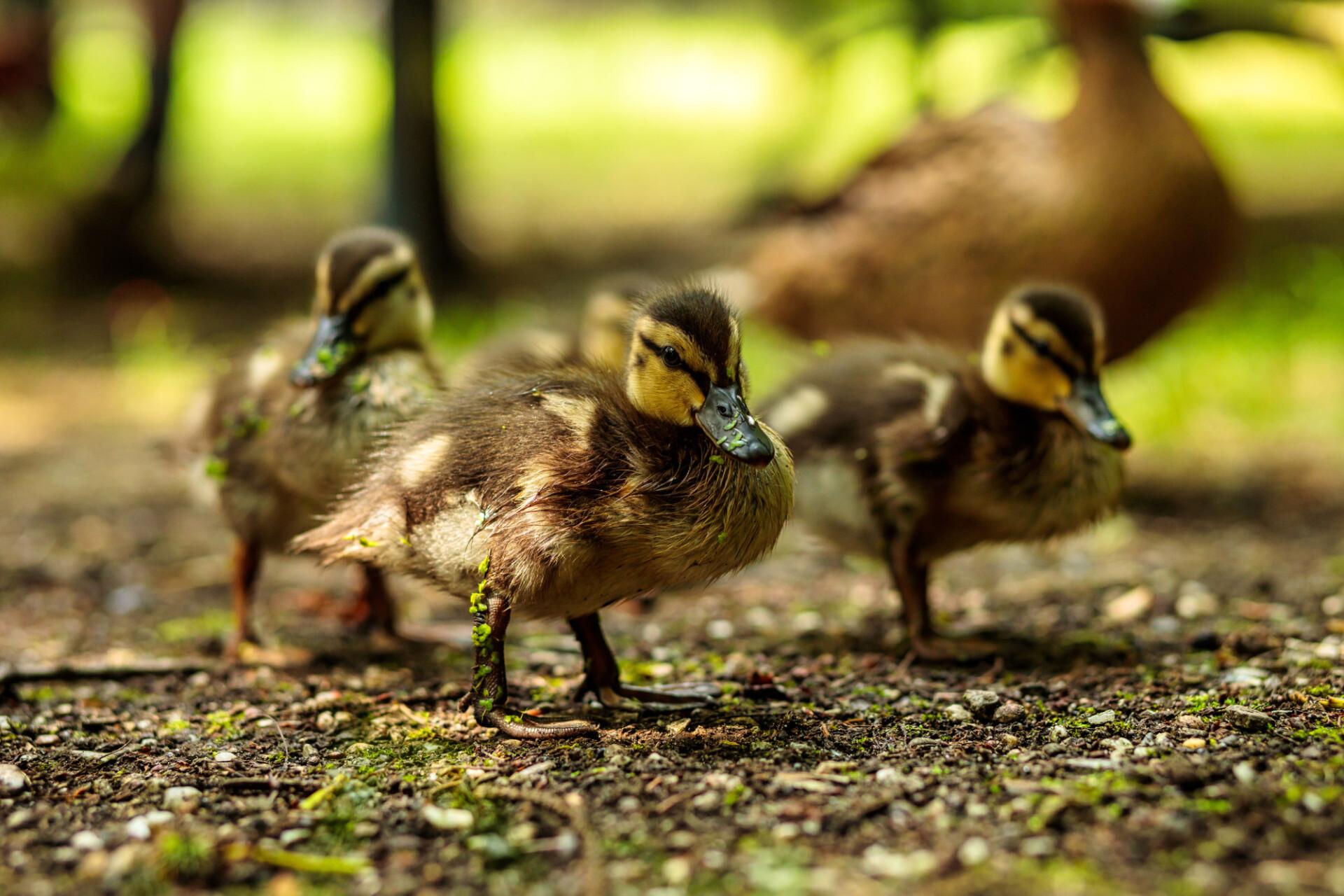 Beautiful cute little duckling - Ducks Family