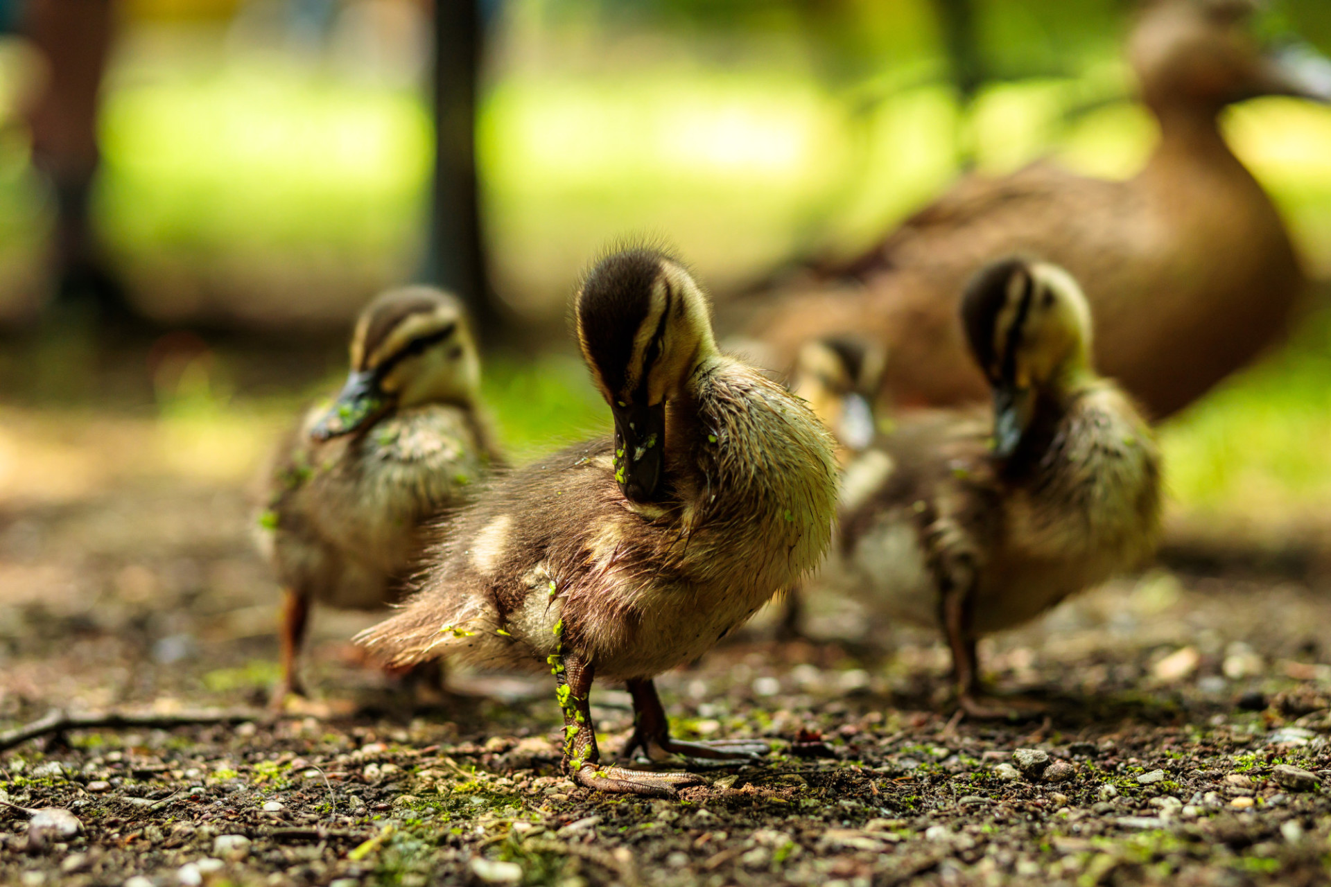 Cute little duckling preening its feathers