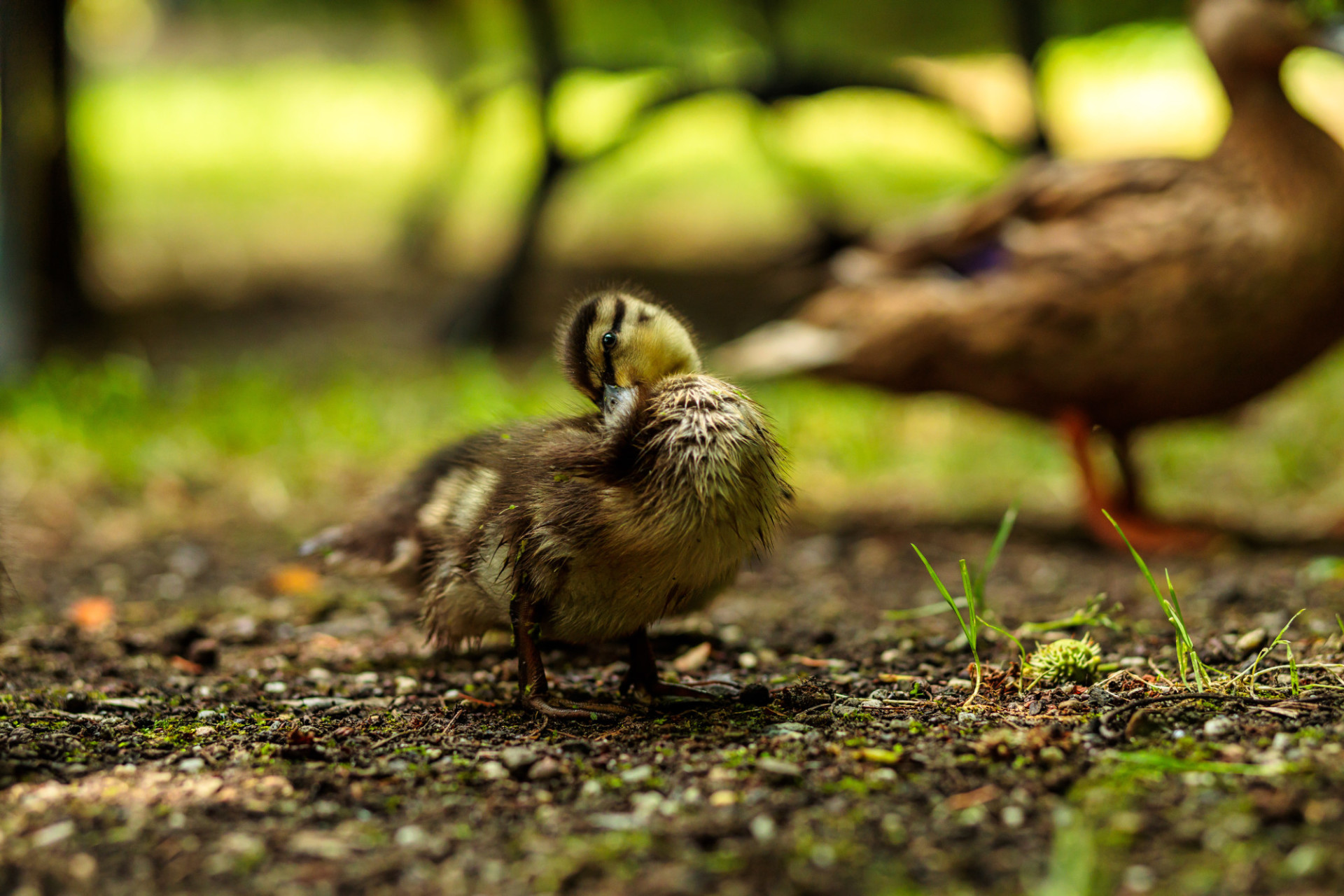 Duckling preening its feathers