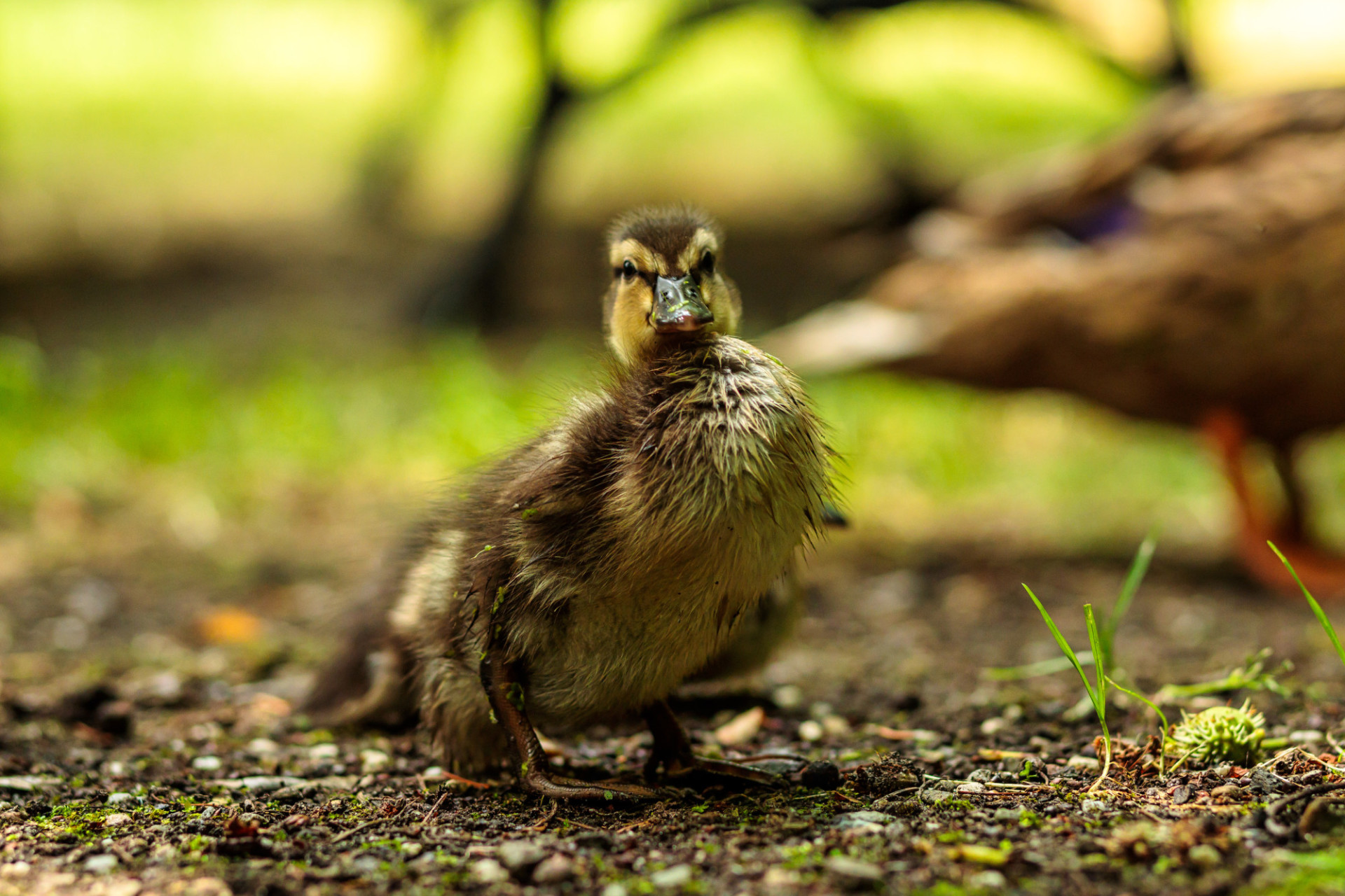 A duckling looks directly into the camera