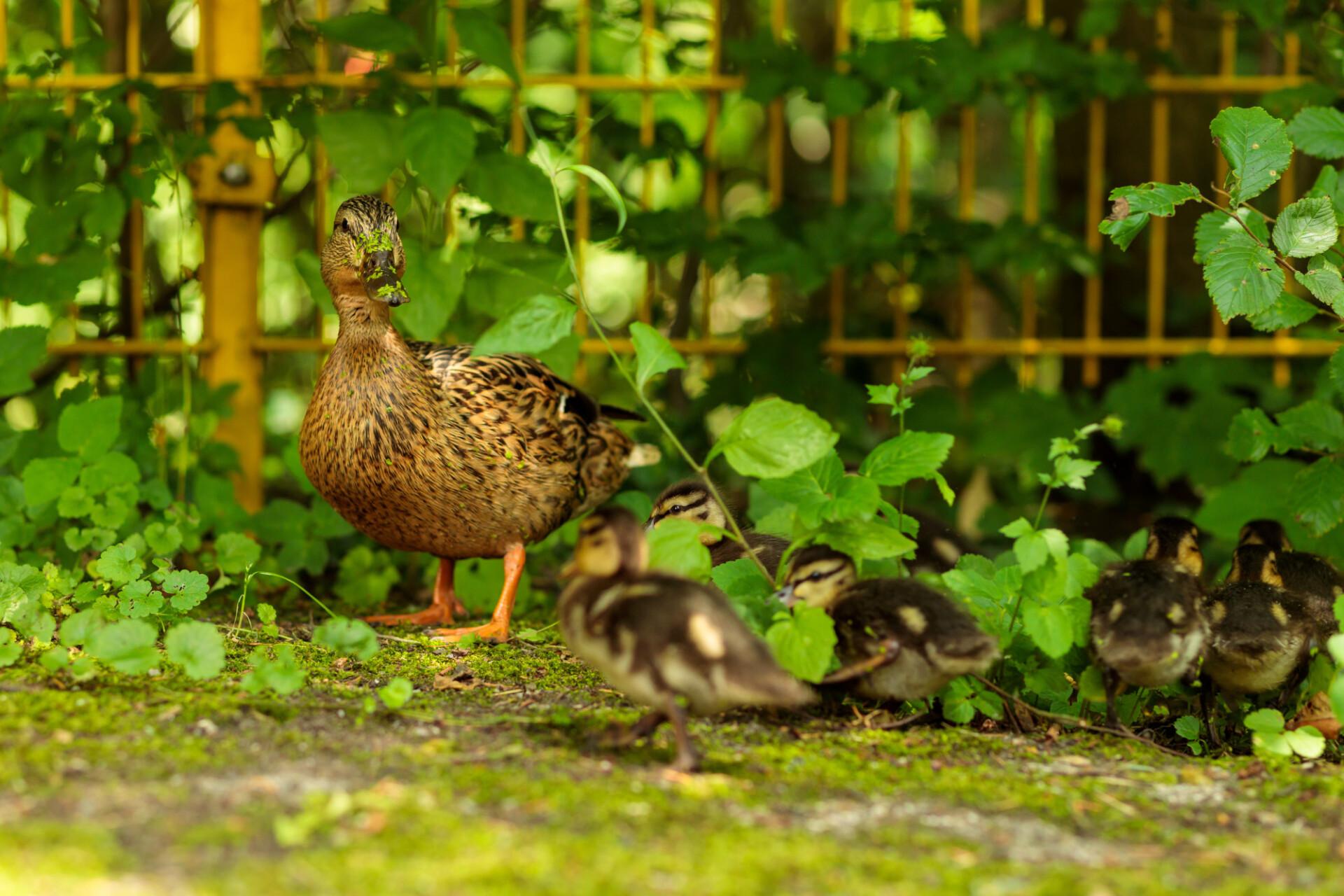 Mother duck calls her ducklings to her