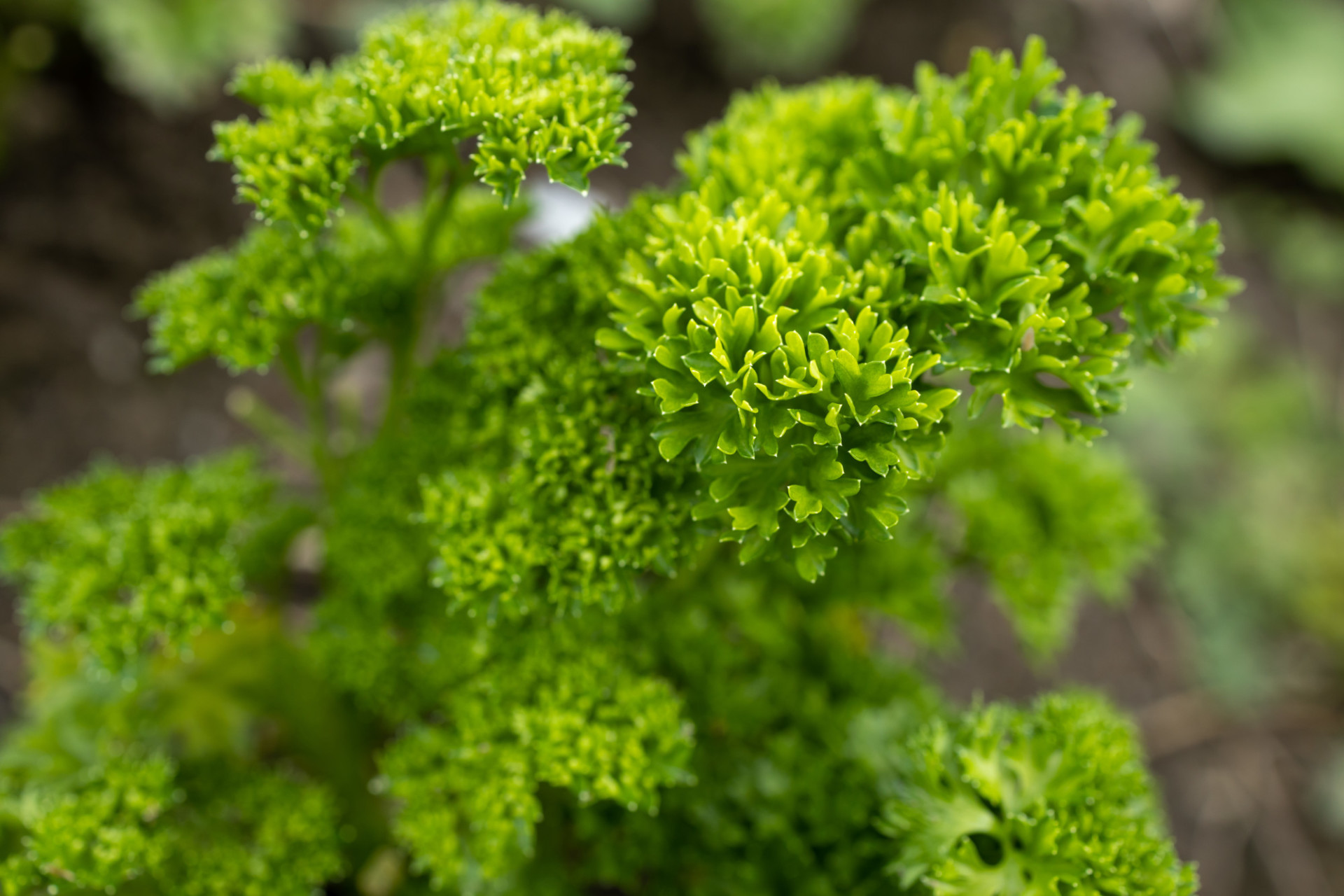 Parsley to cook