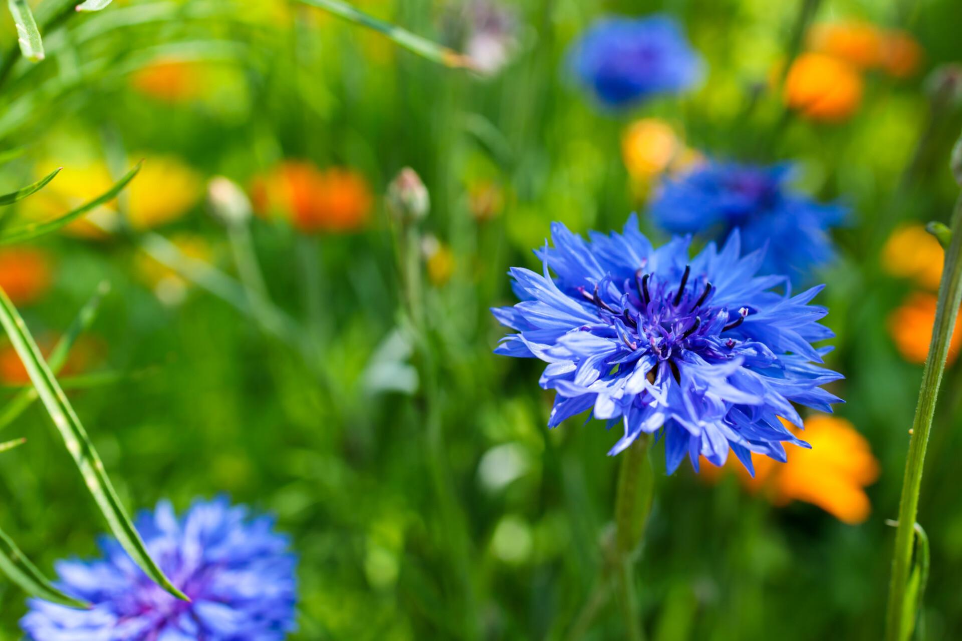 Summertime Cornflower Background