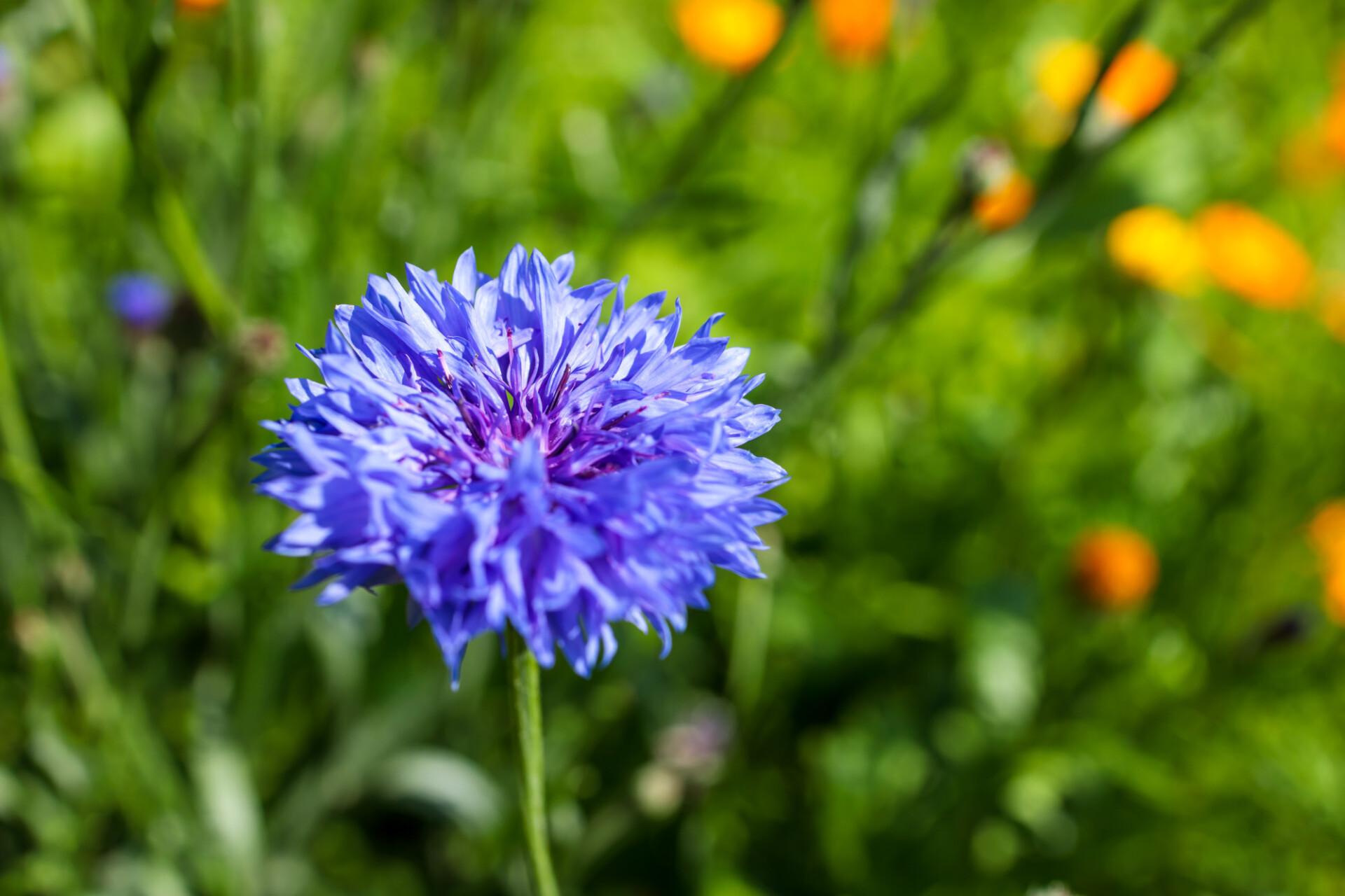 Cornflower in a wild meadow