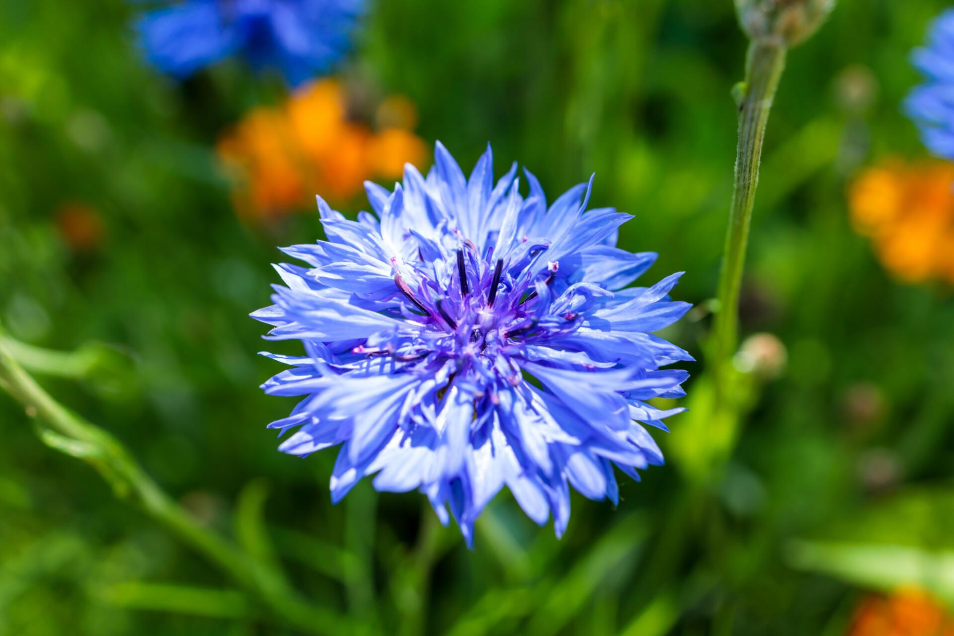 Close-up of a blue cornflower