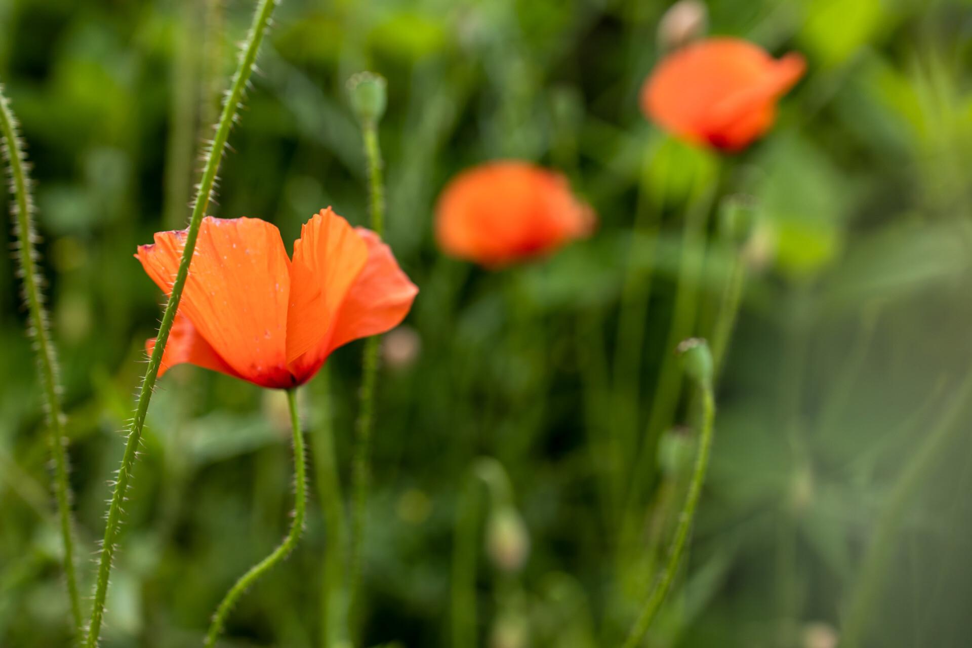 Pretty poppy in a meadow