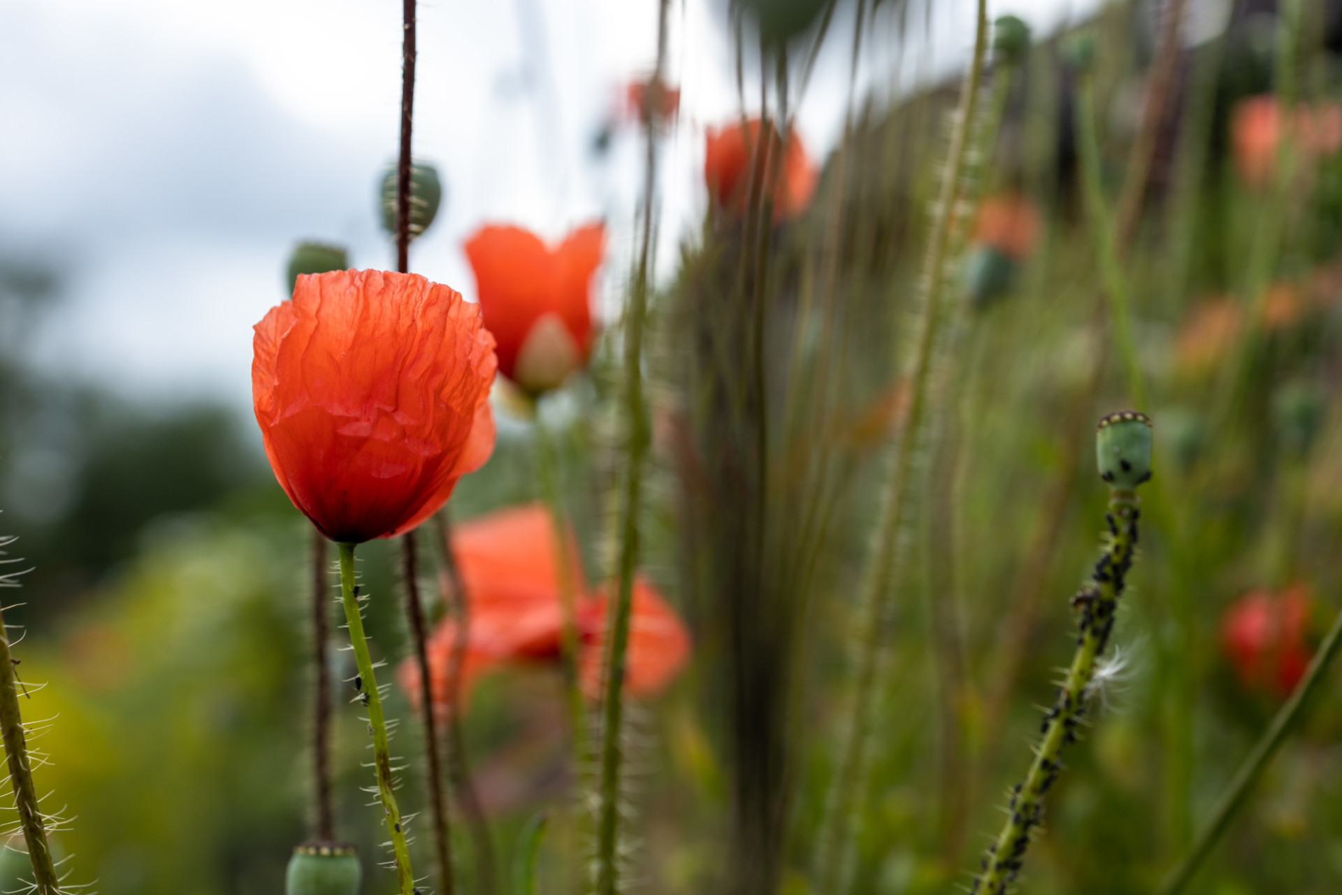 Poppy with aphid infestation