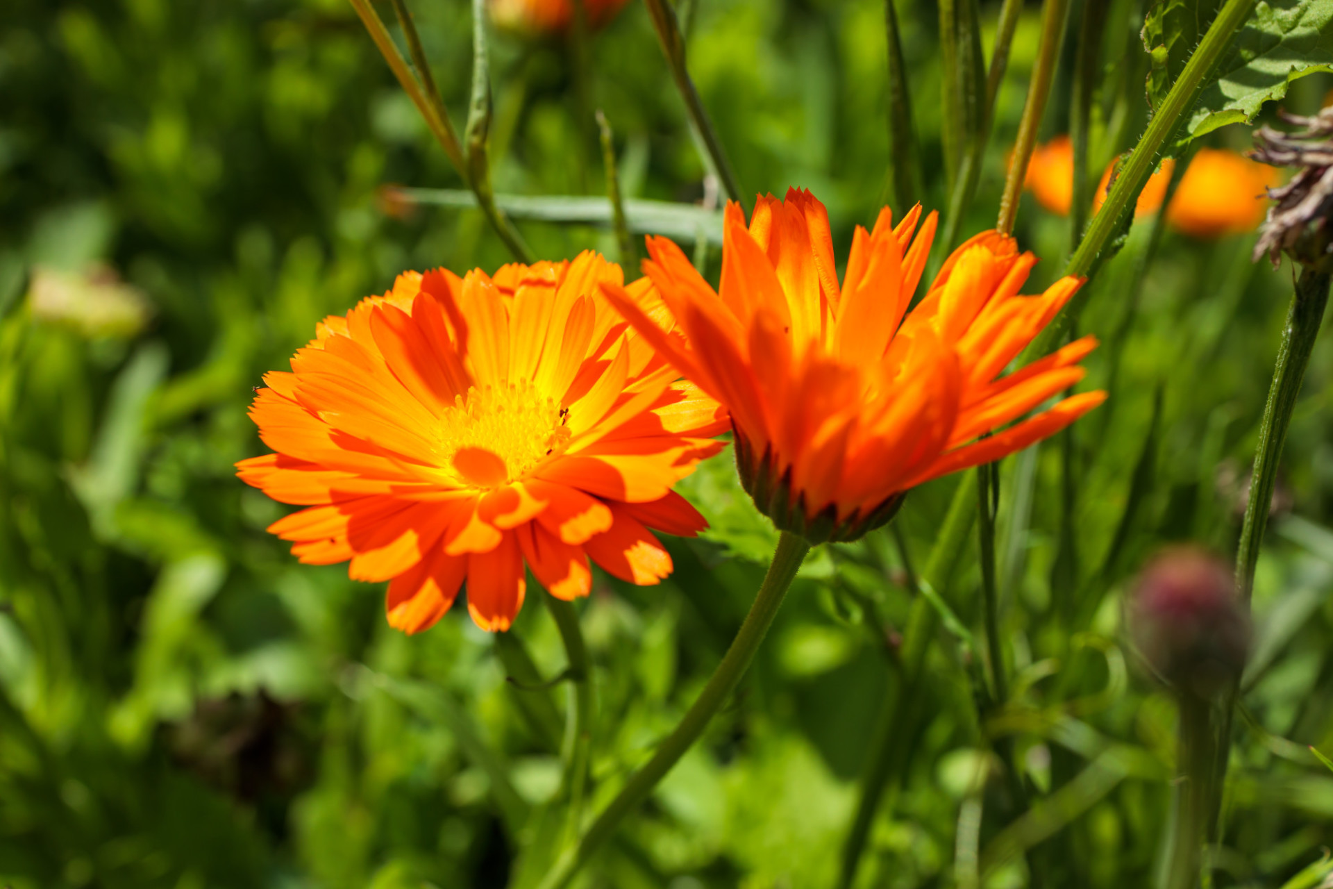Two pretty marigolds in the summer sun