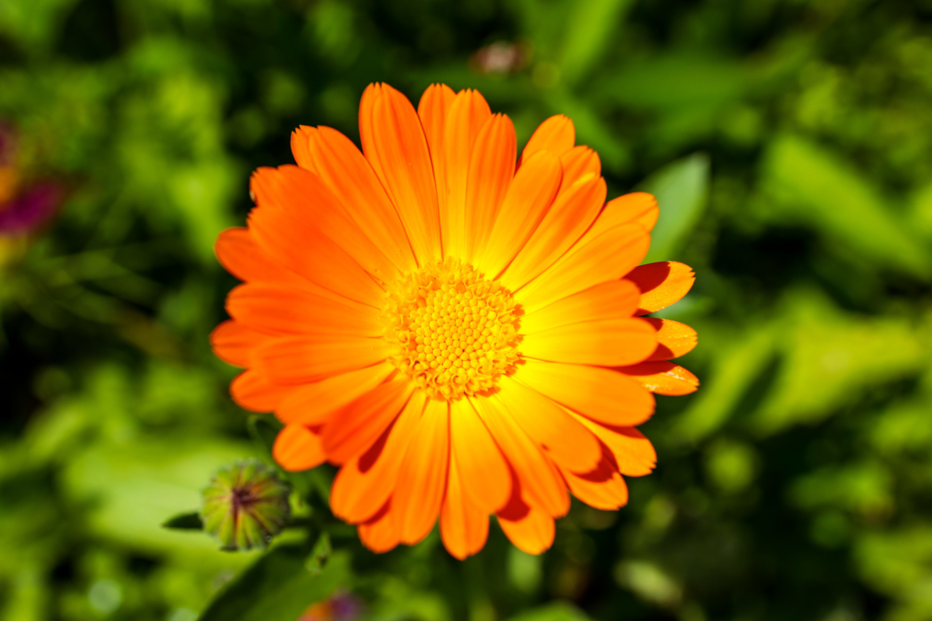 Orange marigold shines in the summer sun - view from above