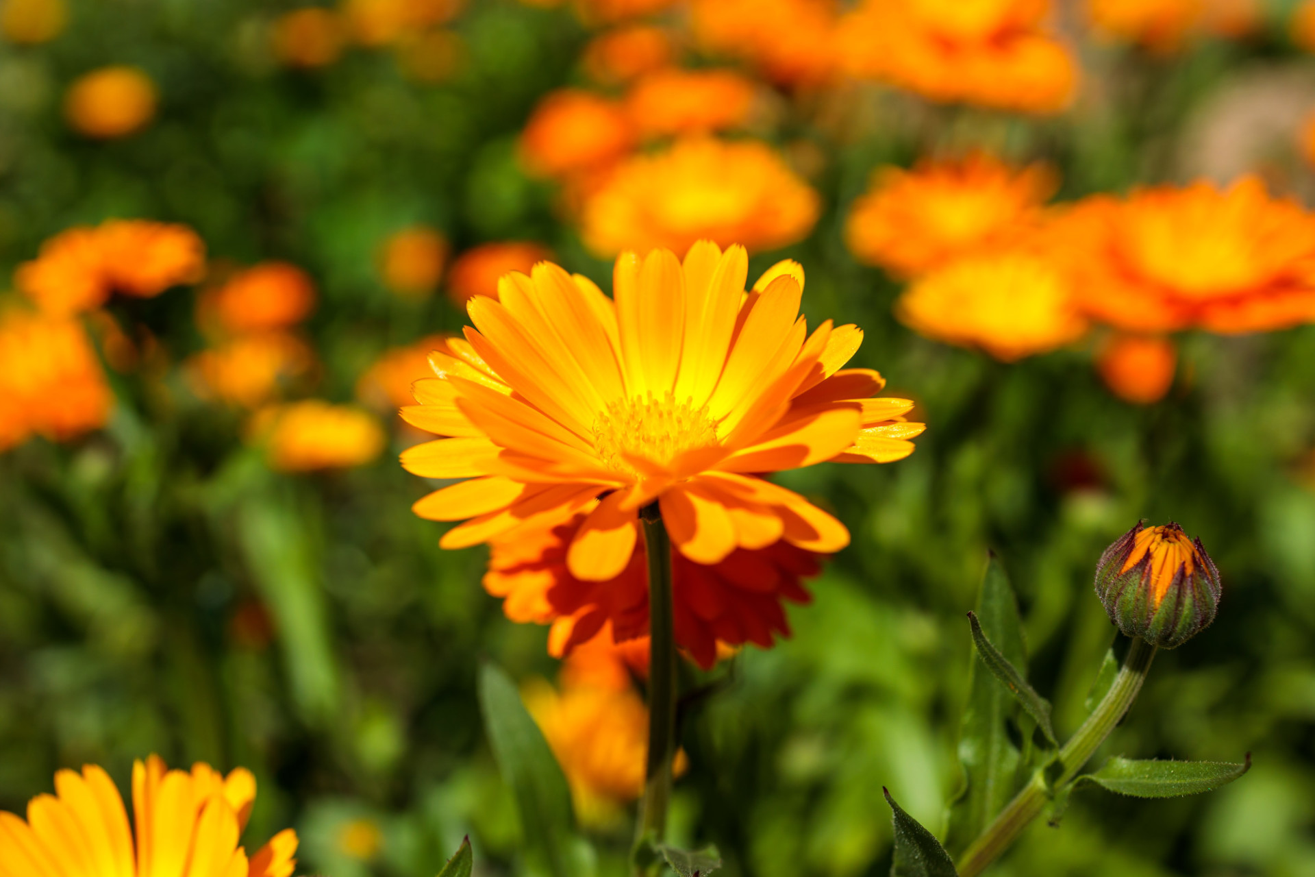 Marigold spreads out its petals