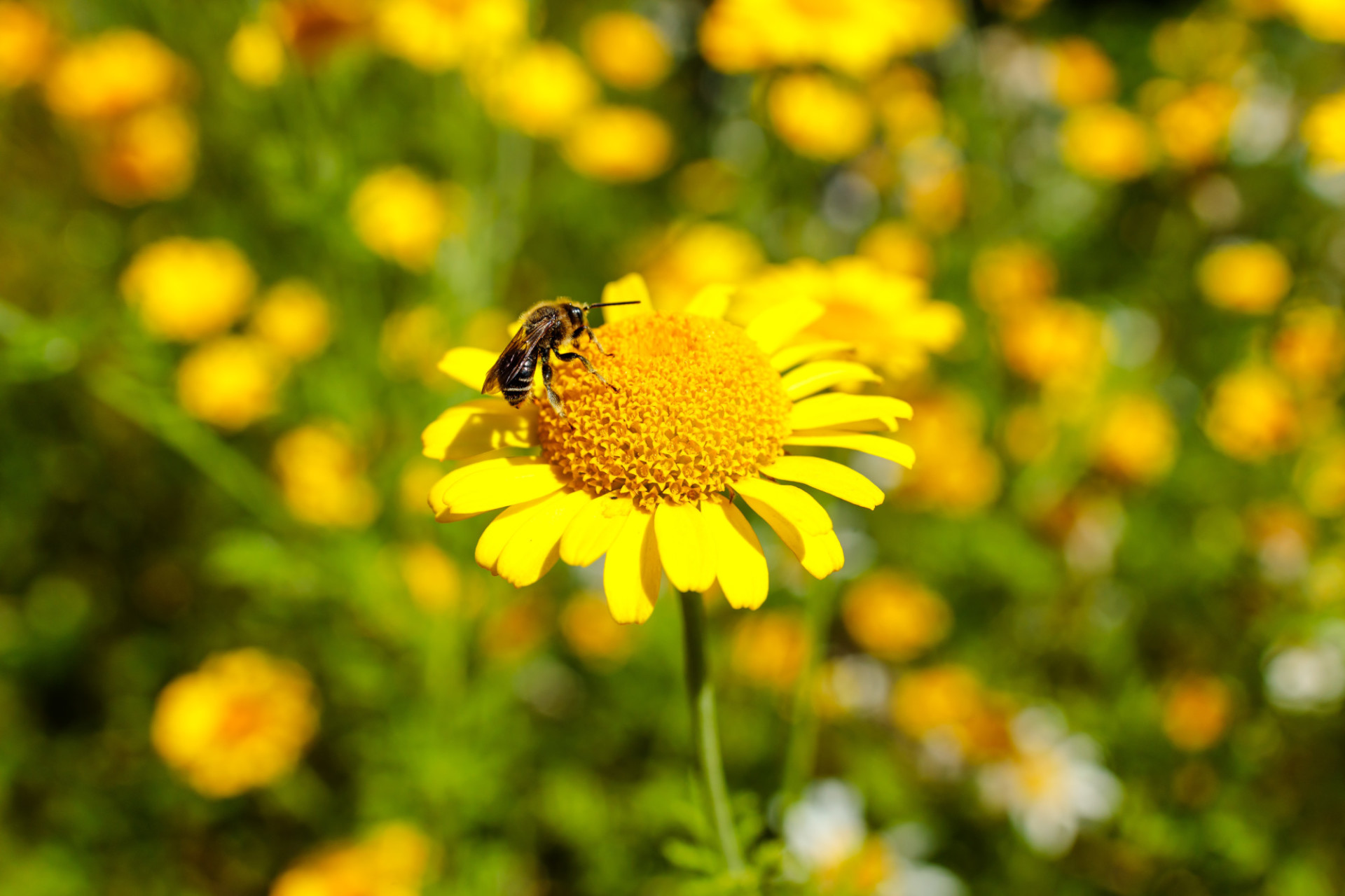 Bee on a golden marguerite