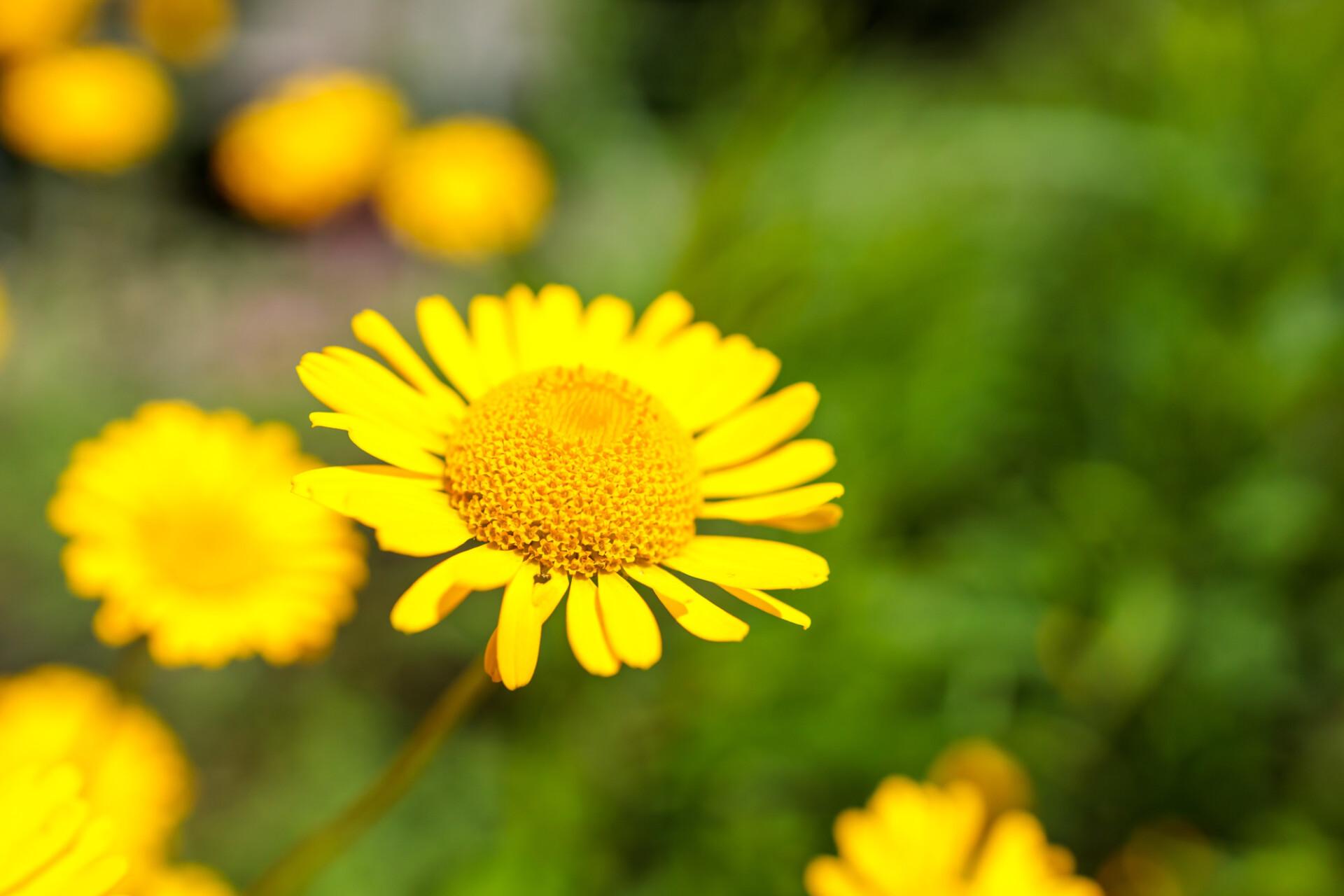 yellow chamomile, or oxeye chamomile