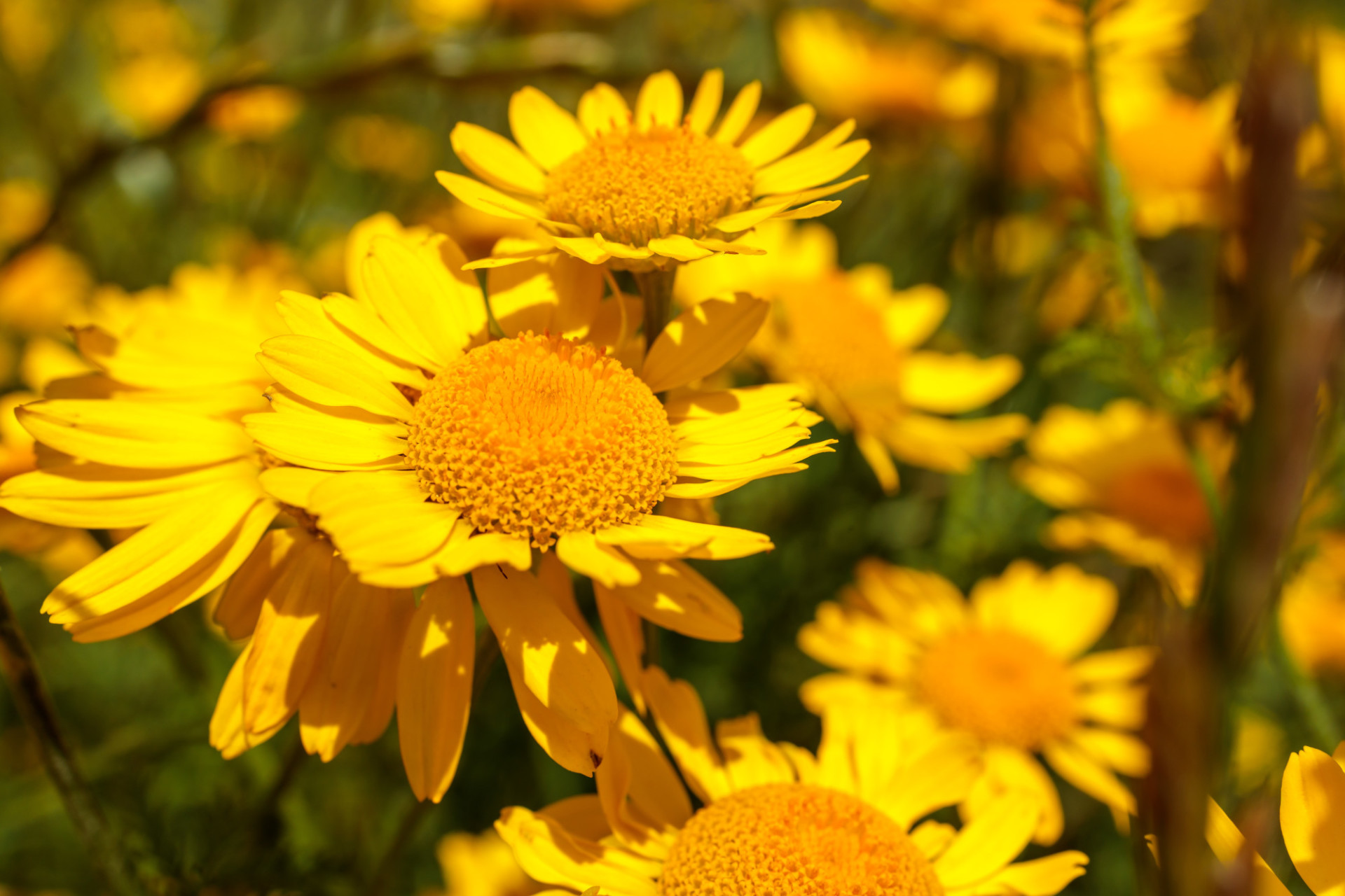 yellow chamomile flowers