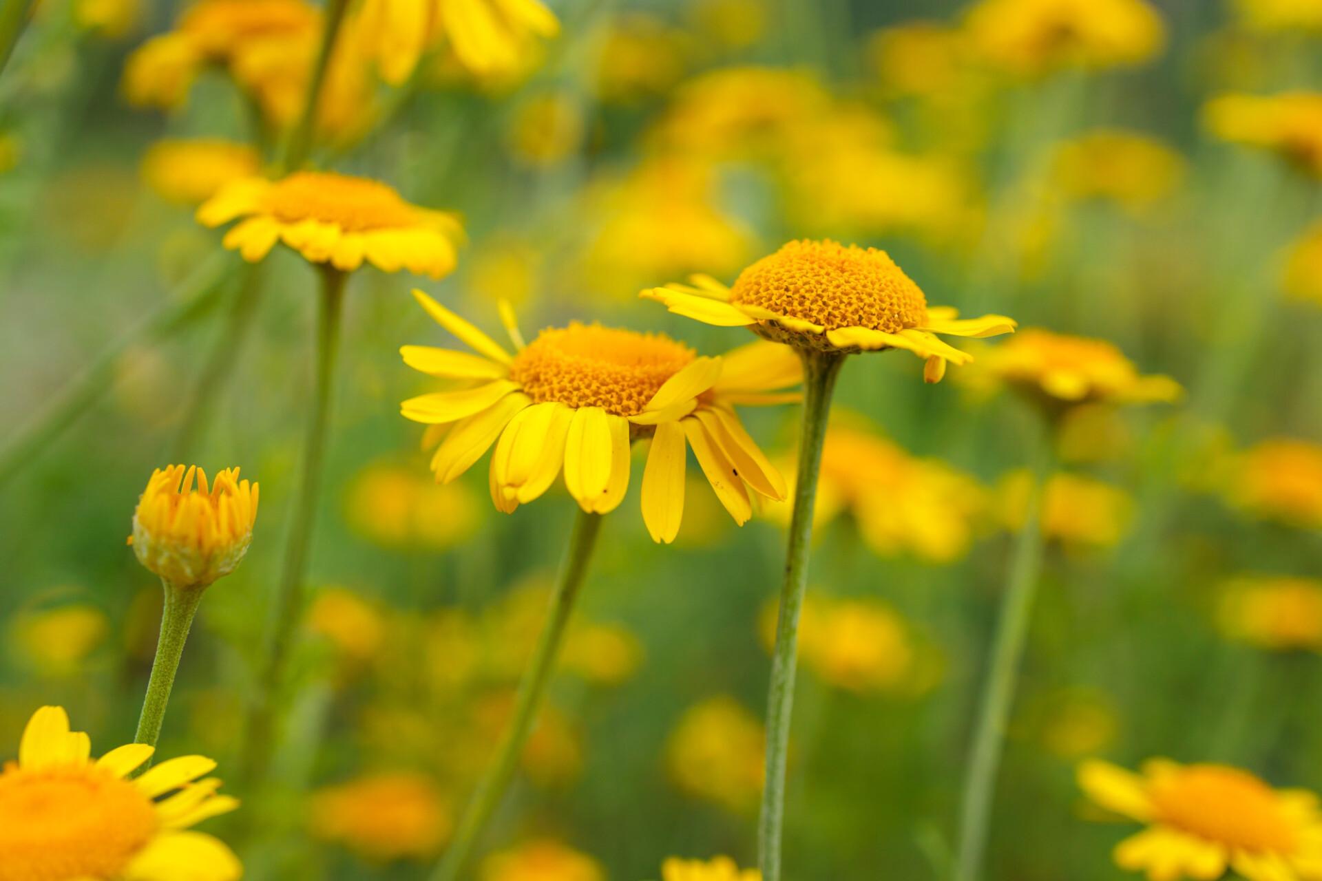 Yellow Chamomile Summer Flowers Background